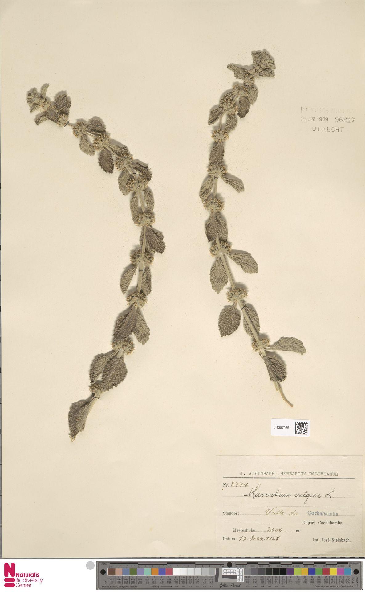 U.1357935 | Marrubium vulgare L.