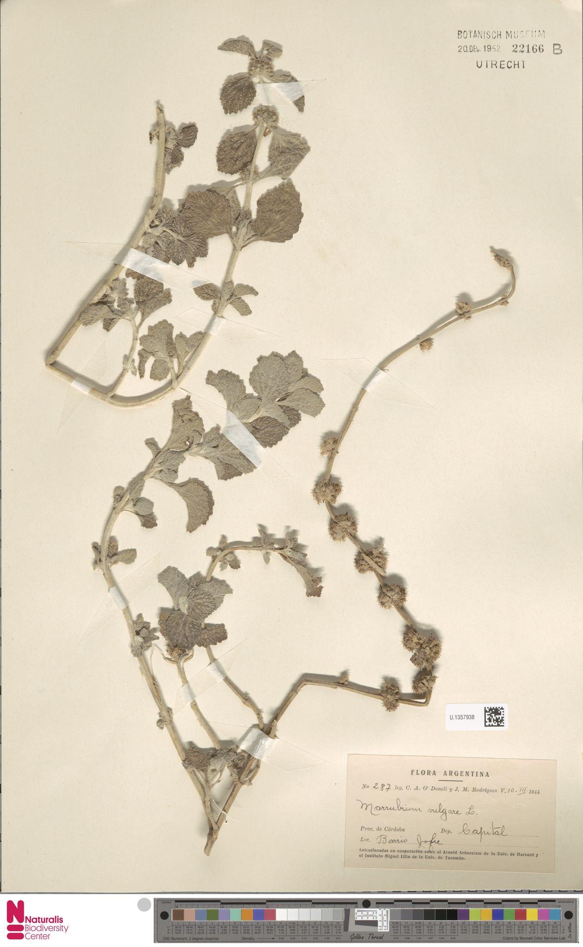 U.1357938 | Marrubium vulgare L.