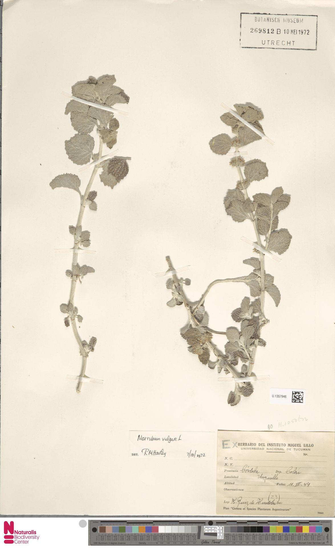 U.1357946 | Marrubium vulgare L.