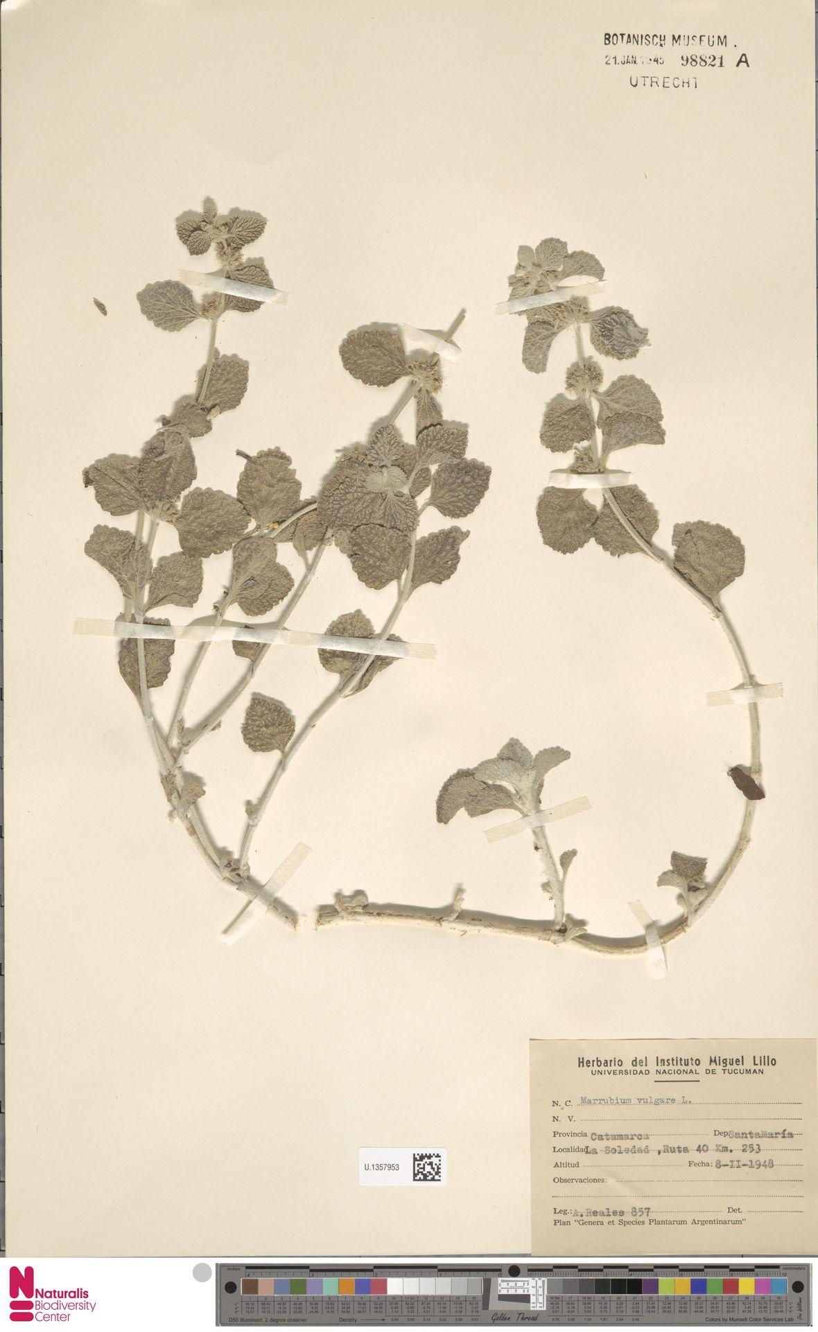 U.1357953   Marrubium vulgare L.