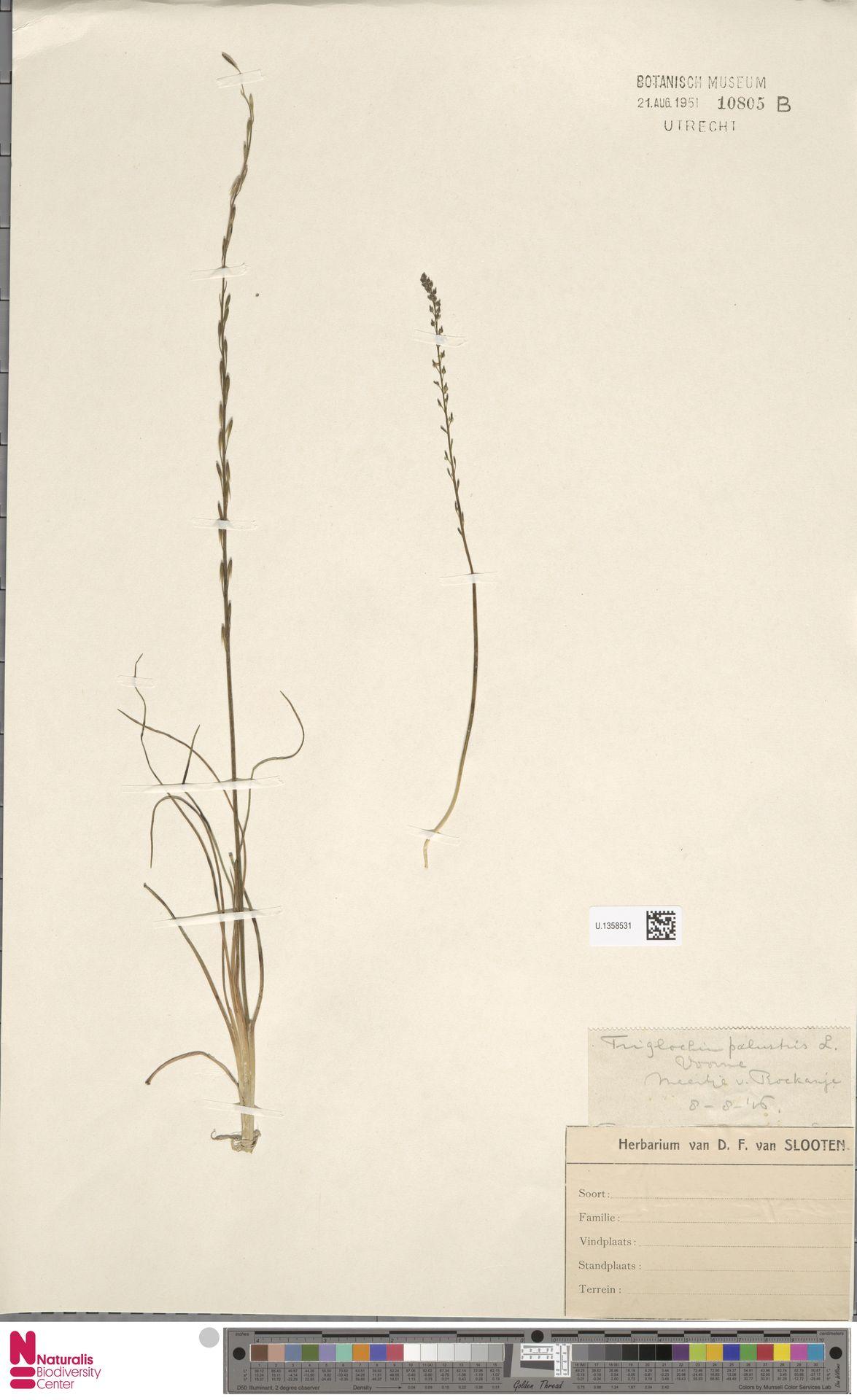 U.1358531 | Triglochin palustris L.