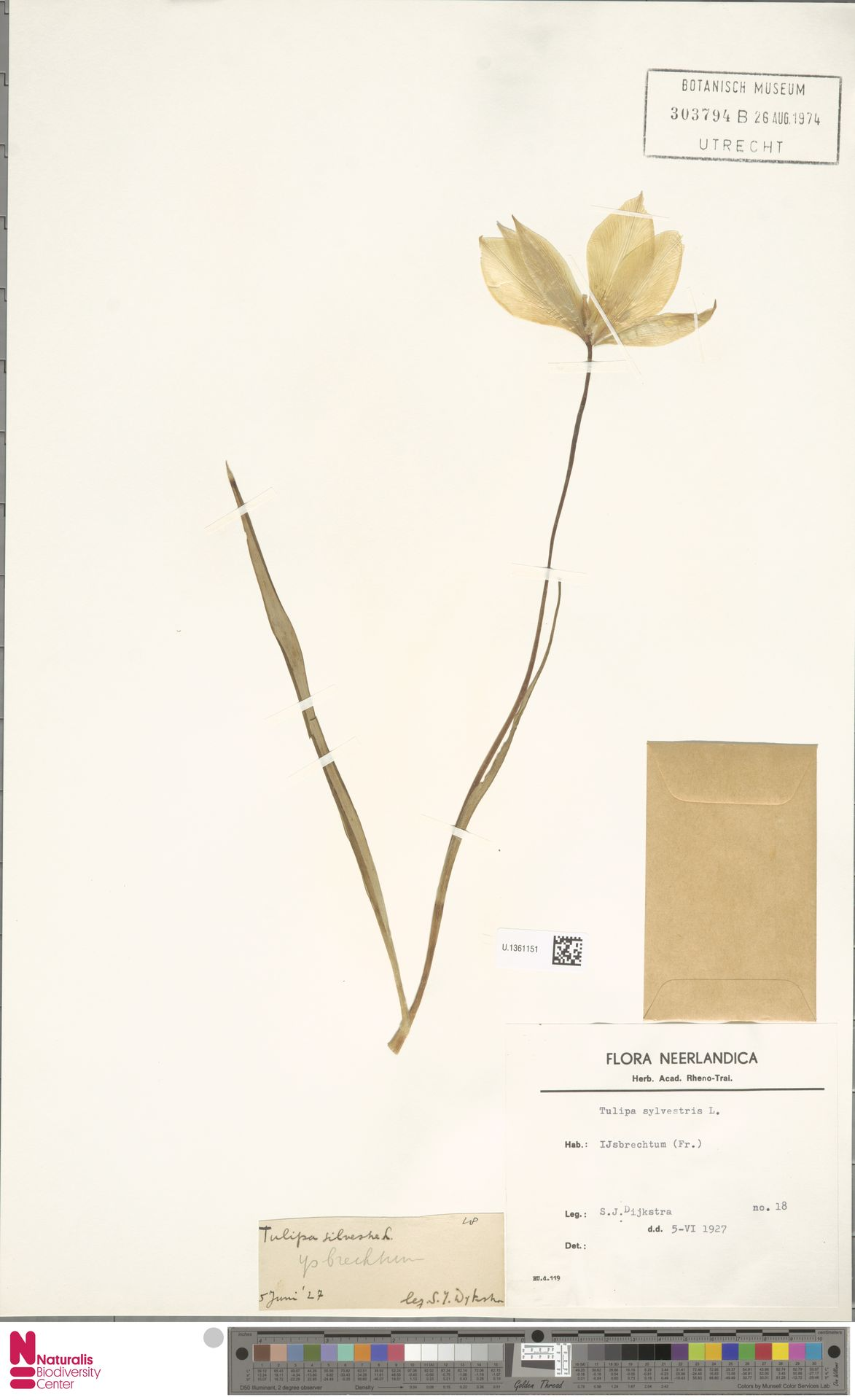 U.1361151   Tulipa sylvestris L.
