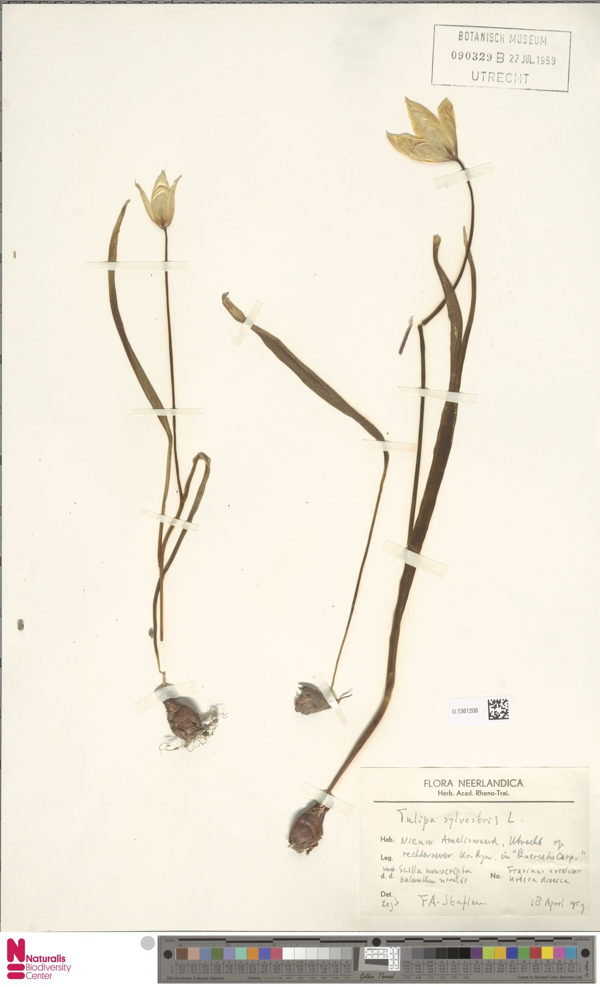 U.1361208   Tulipa sylvestris L.