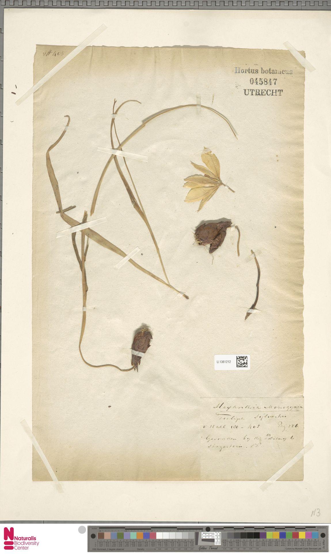 U.1361212 | Tulipa sylvestris L.