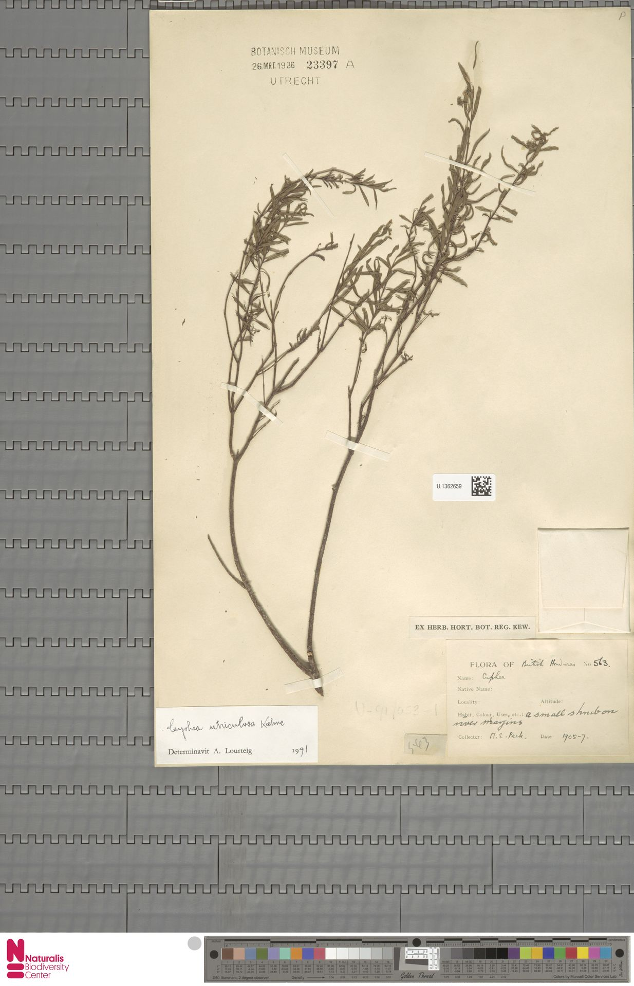 U.1362659 | Cuphea utriculosa Koehne