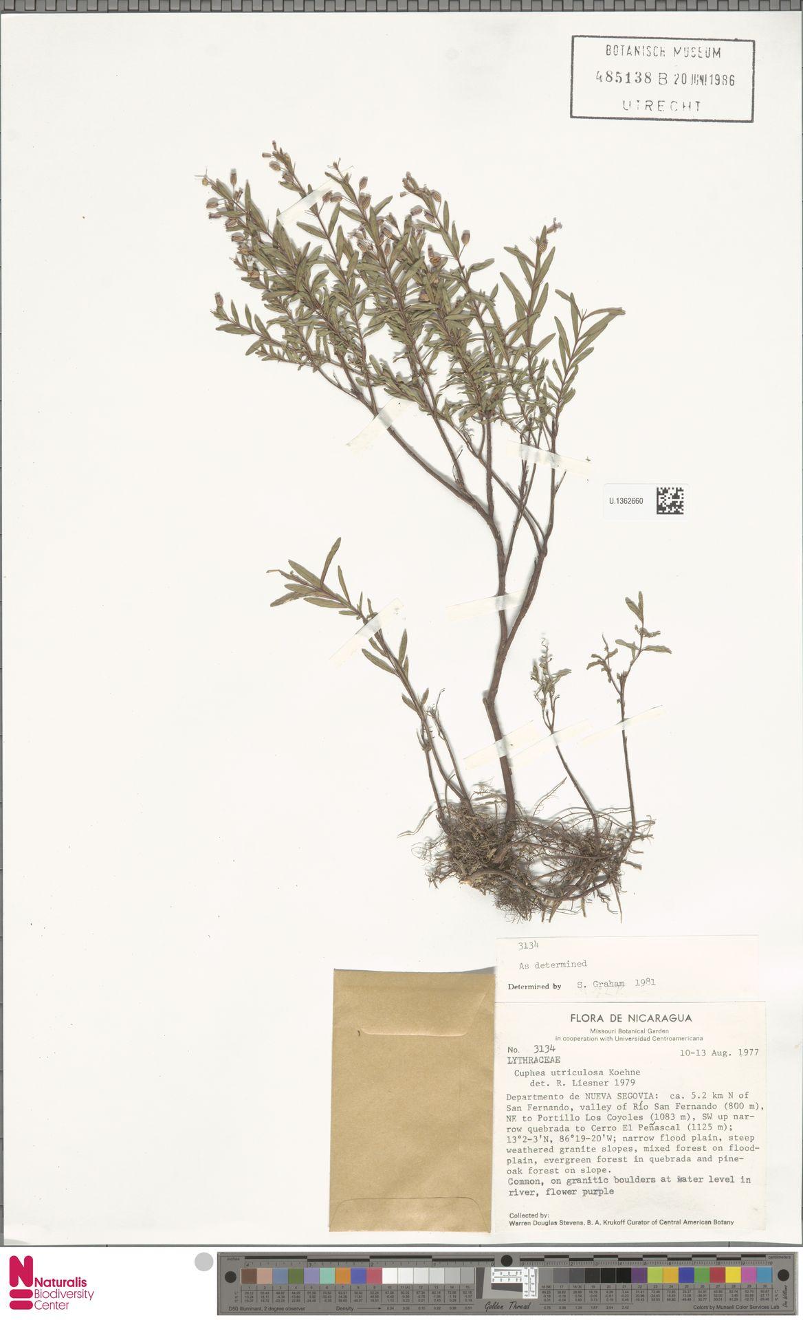 U.1362660 | Cuphea utriculosa Koehne