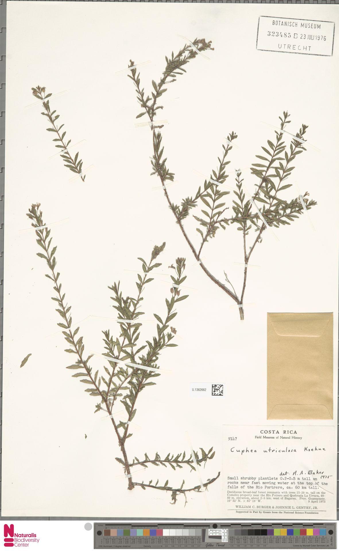 U.1362662 | Cuphea utriculosa Koehne