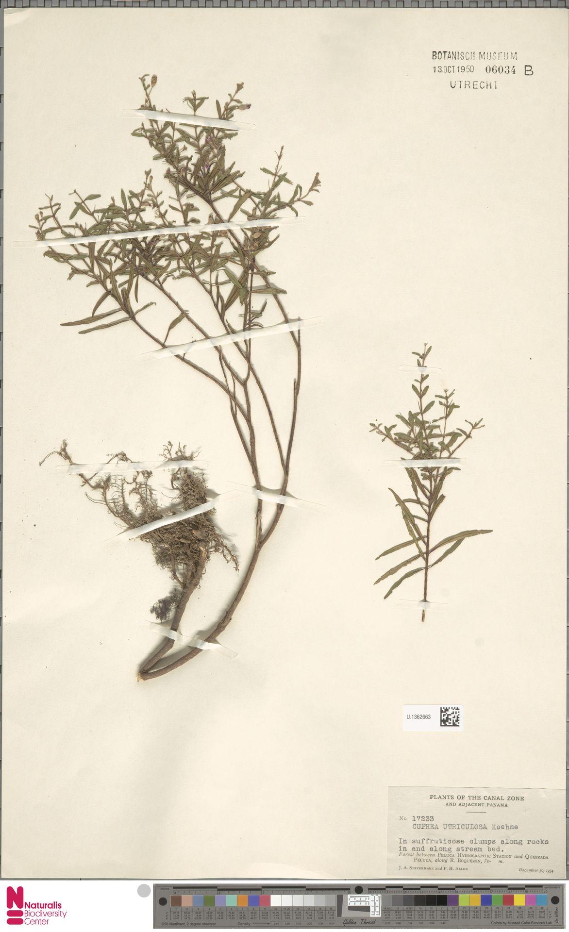 U.1362663   Cuphea utriculosa Koehne