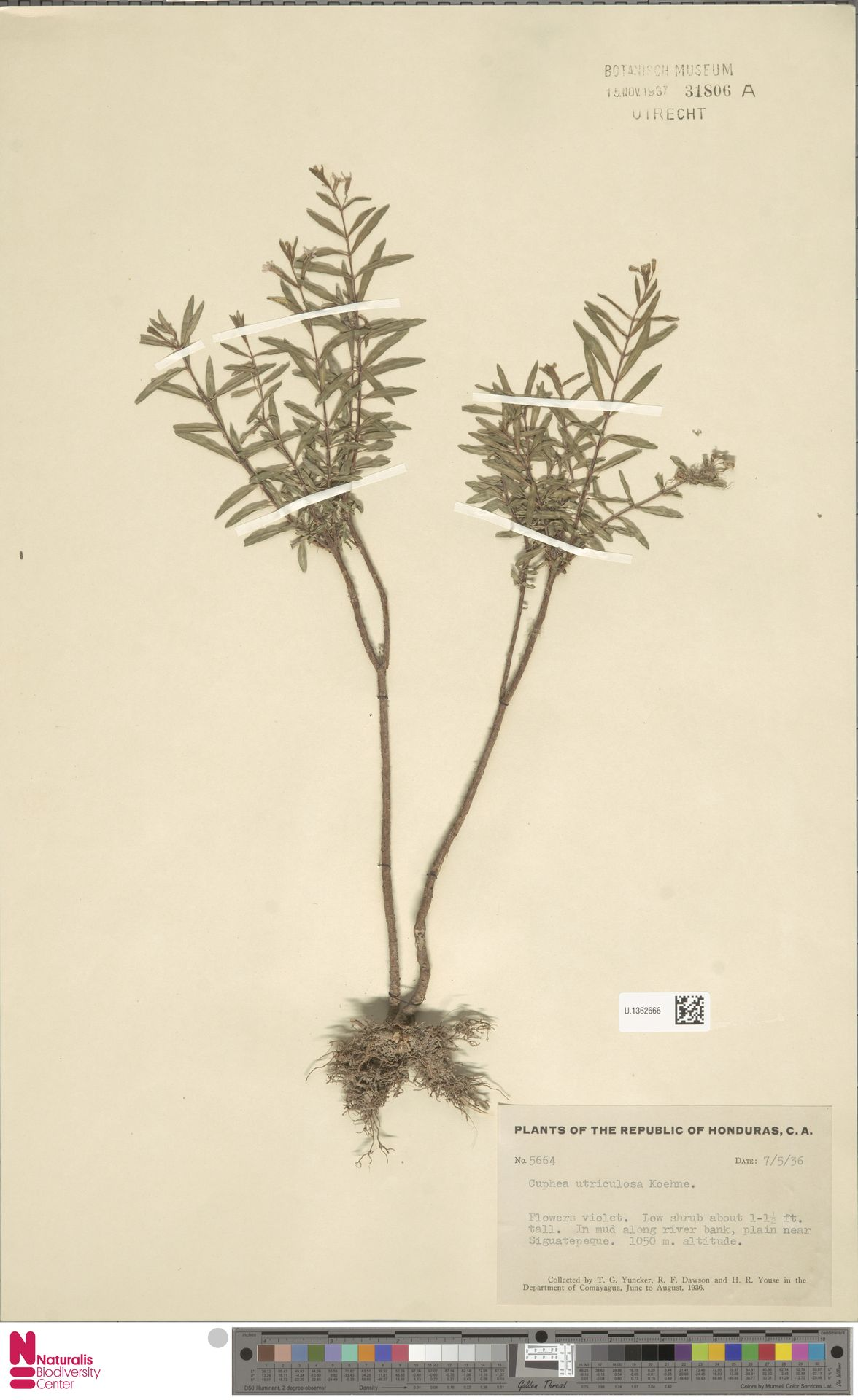 U.1362666 | Cuphea utriculosa Koehne