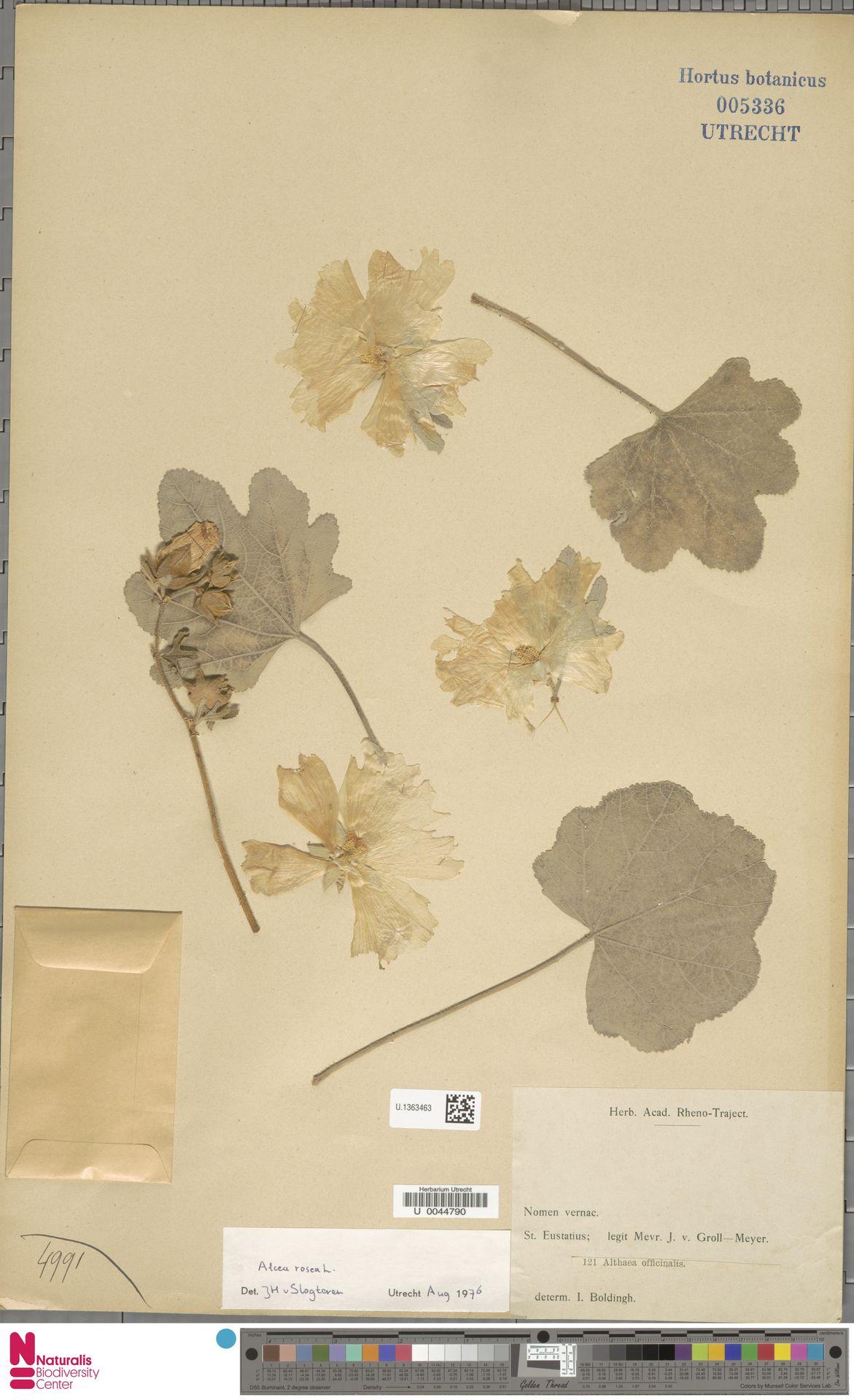 U.1363463 | Alcea rosea L.