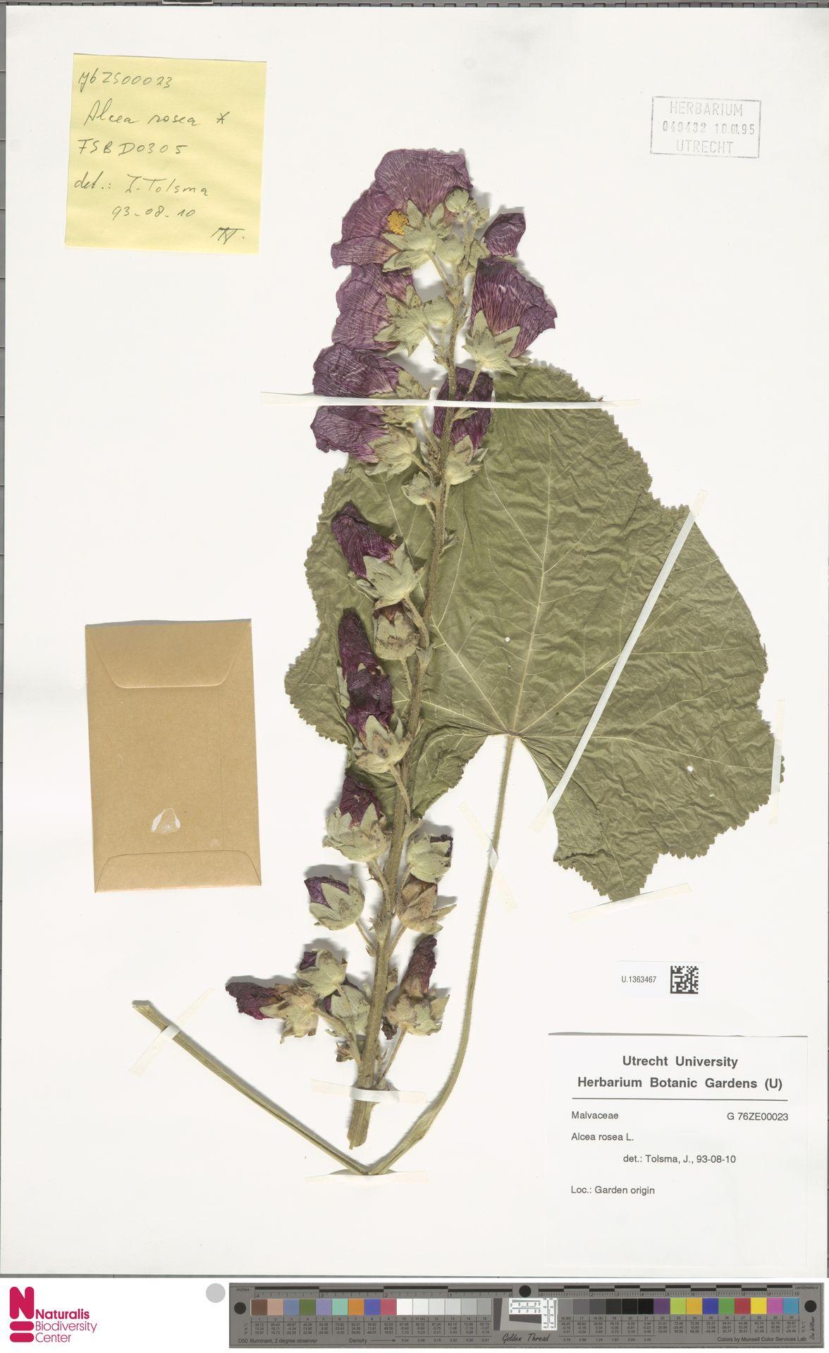 U.1363467 | Alcea rosea L.