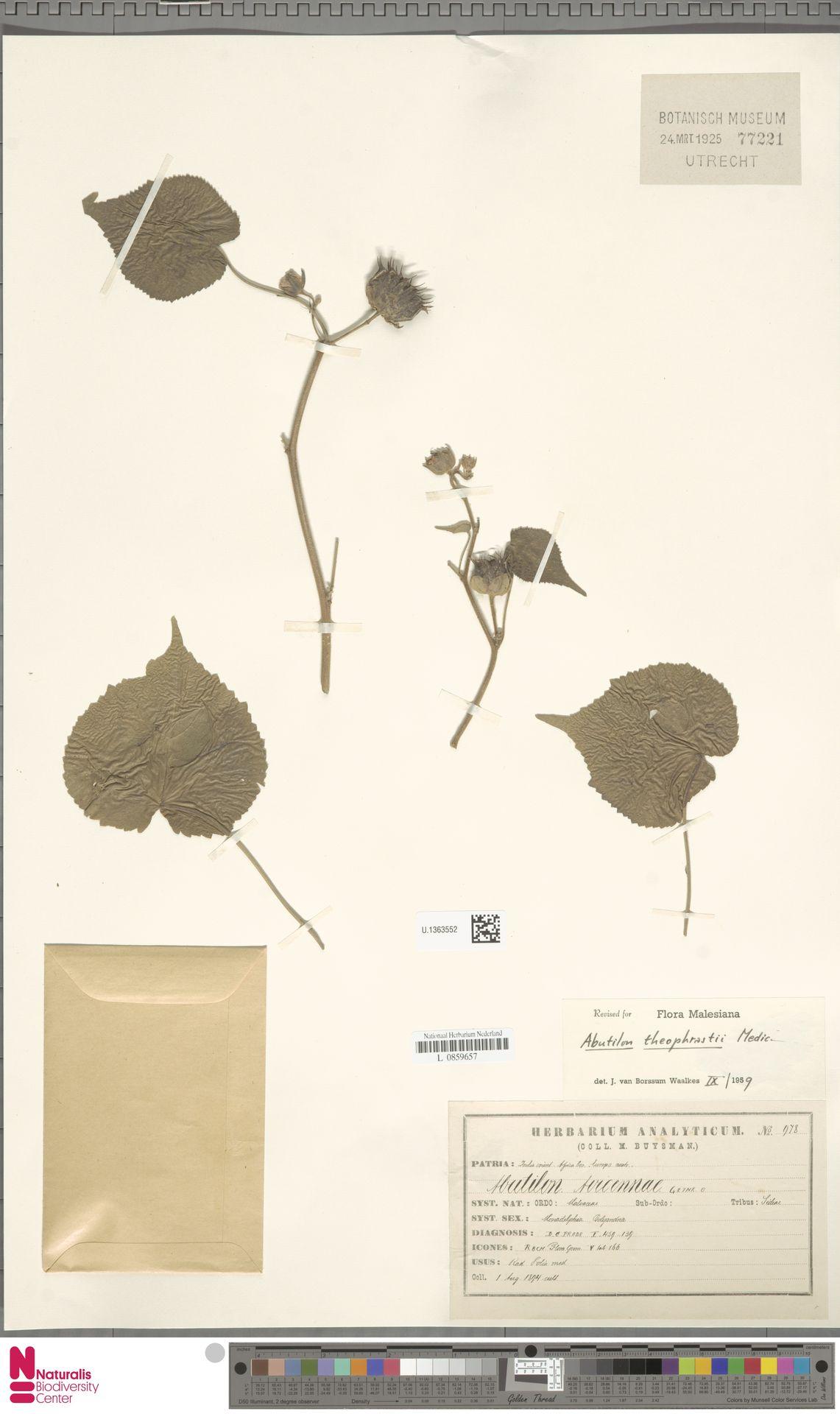 U.1363552 | Abutilon theophrasti Medik.