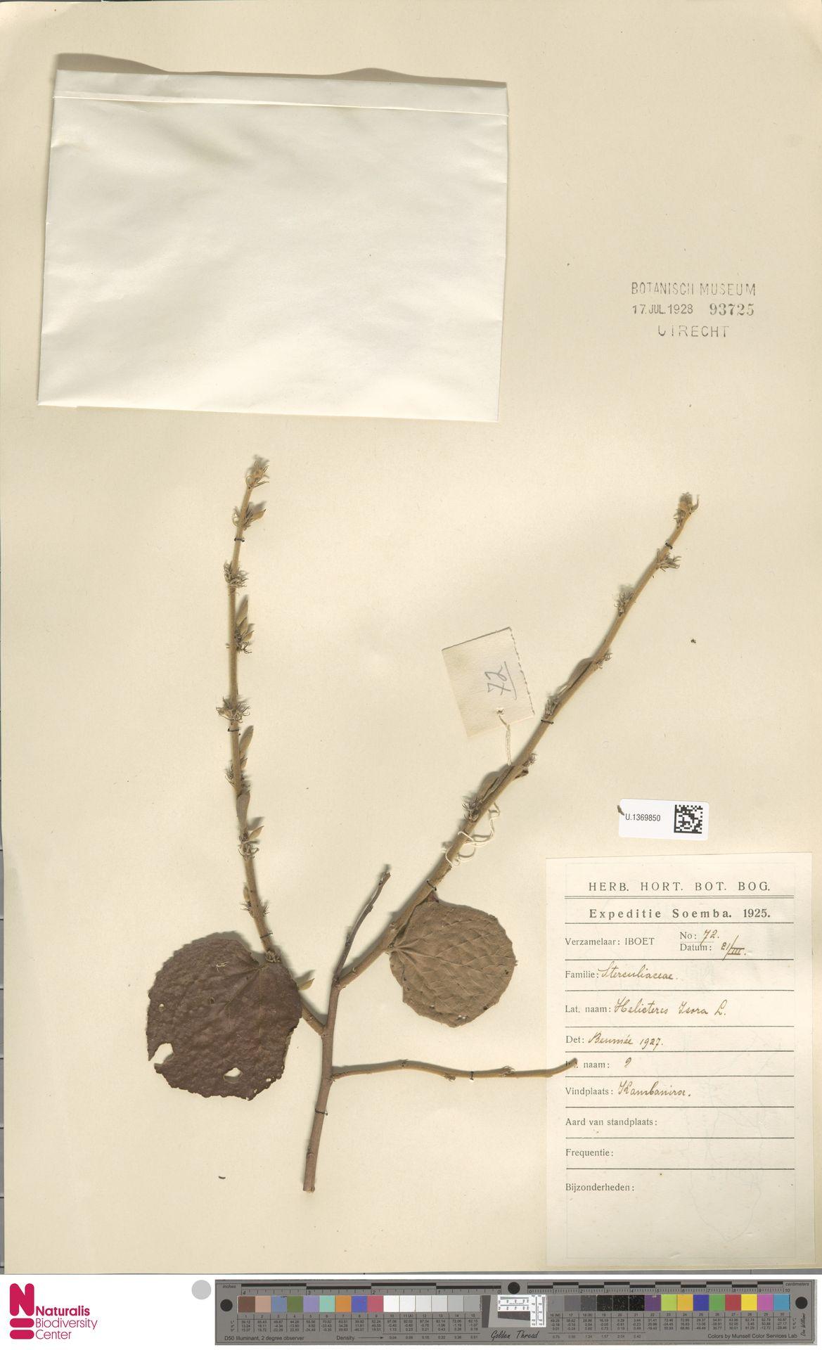 U.1369850 | Helicteres isora L.