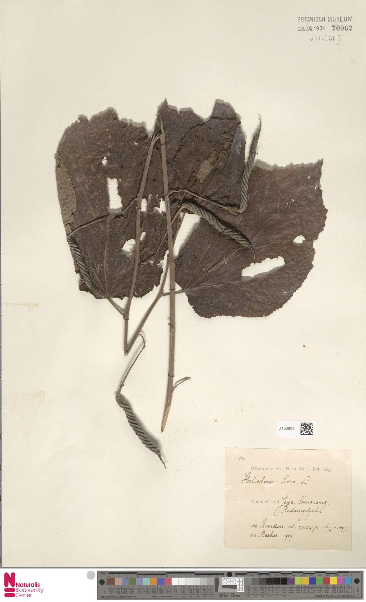 U.1369852   Helicteres isora L.