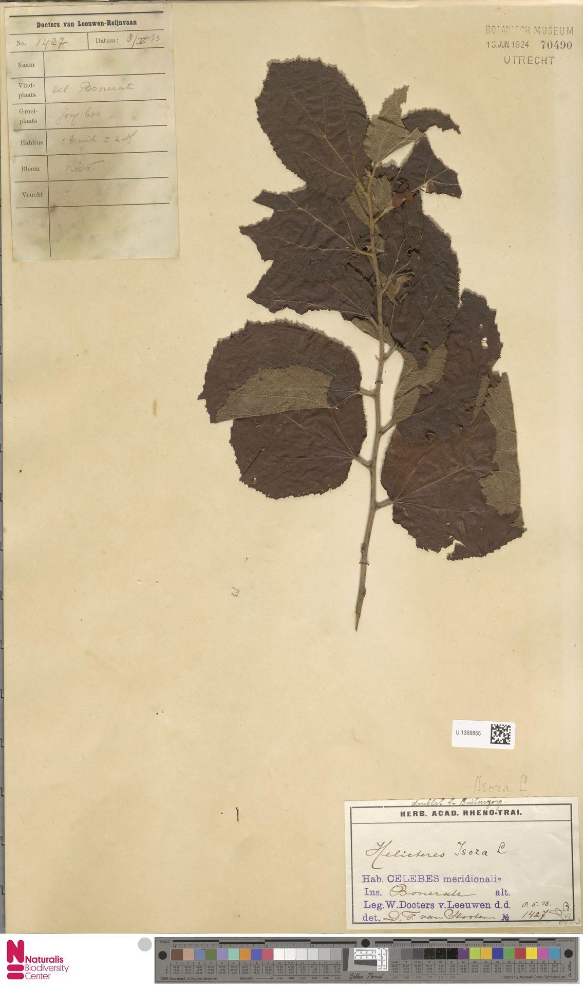 U.1369855 | Helicteres isora L.
