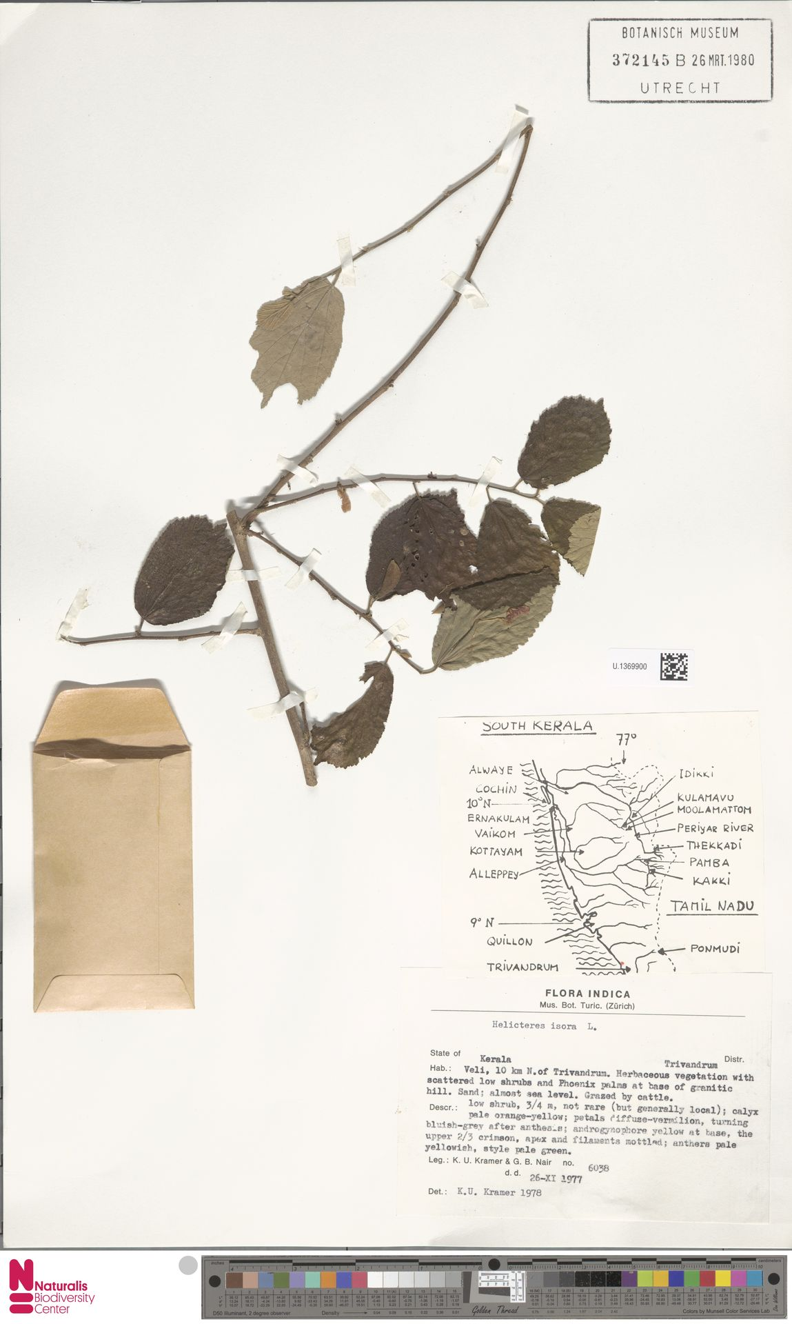 U.1369900 | Helicteres isora L.