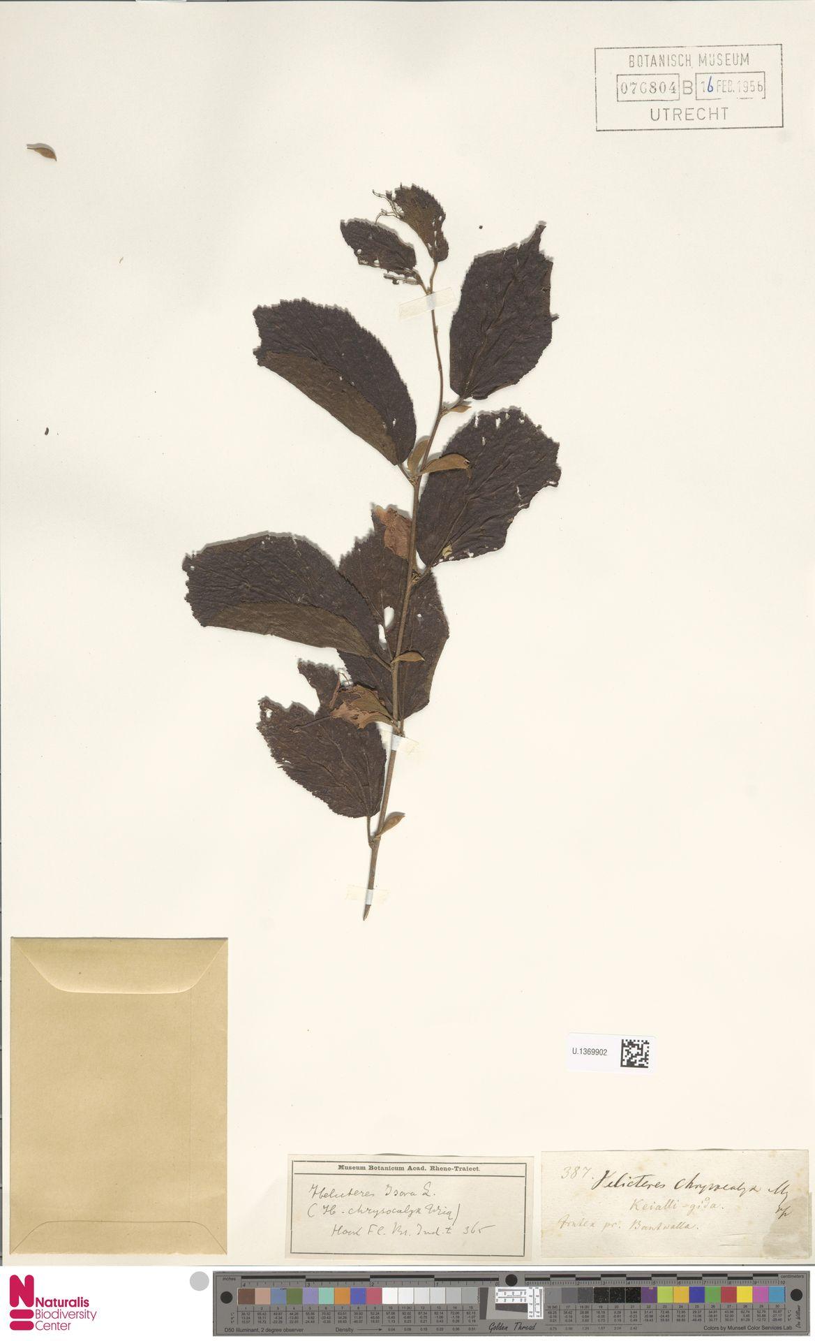 U.1369902 | Helicteres isora L.