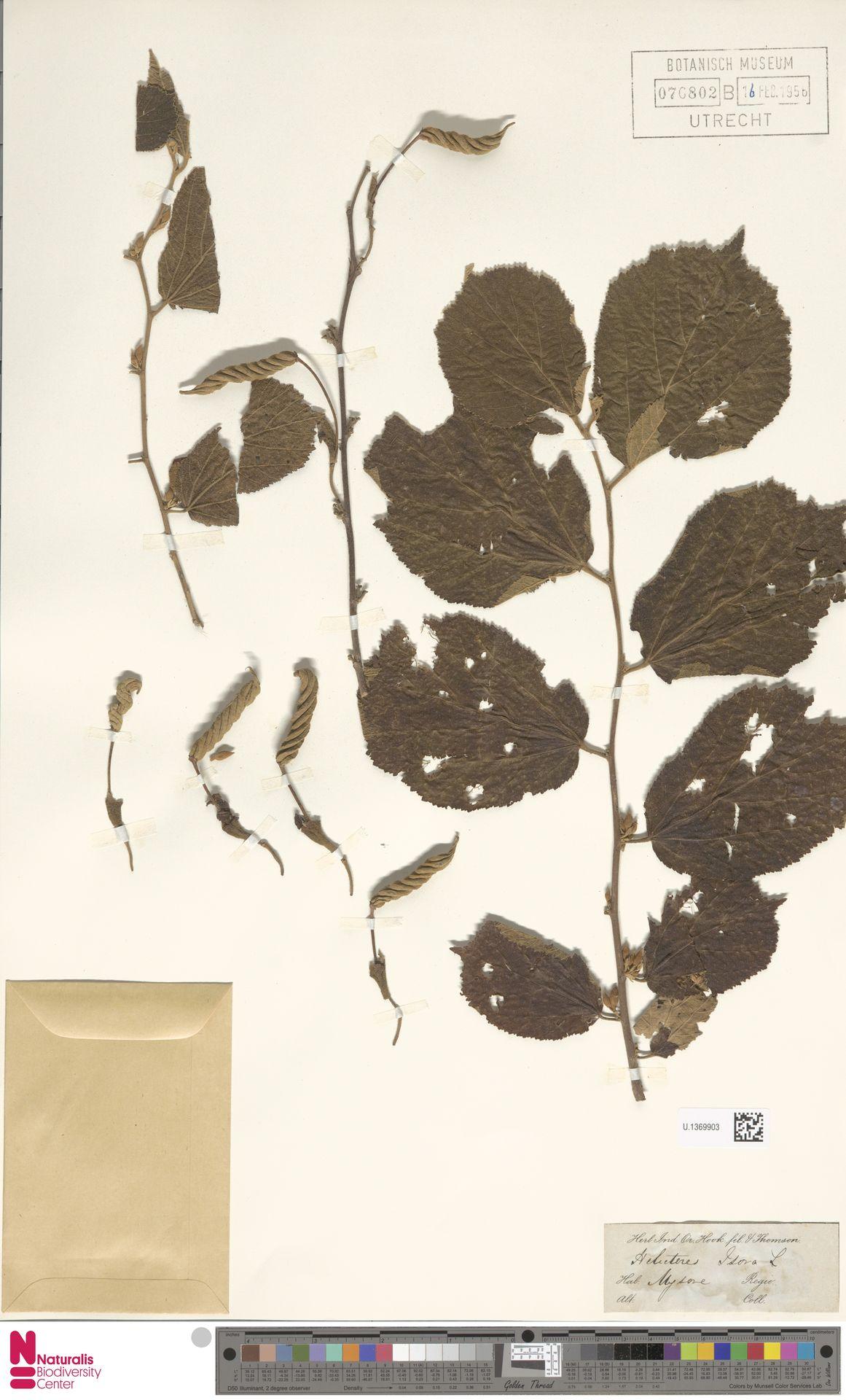 U.1369903 | Helicteres isora L.