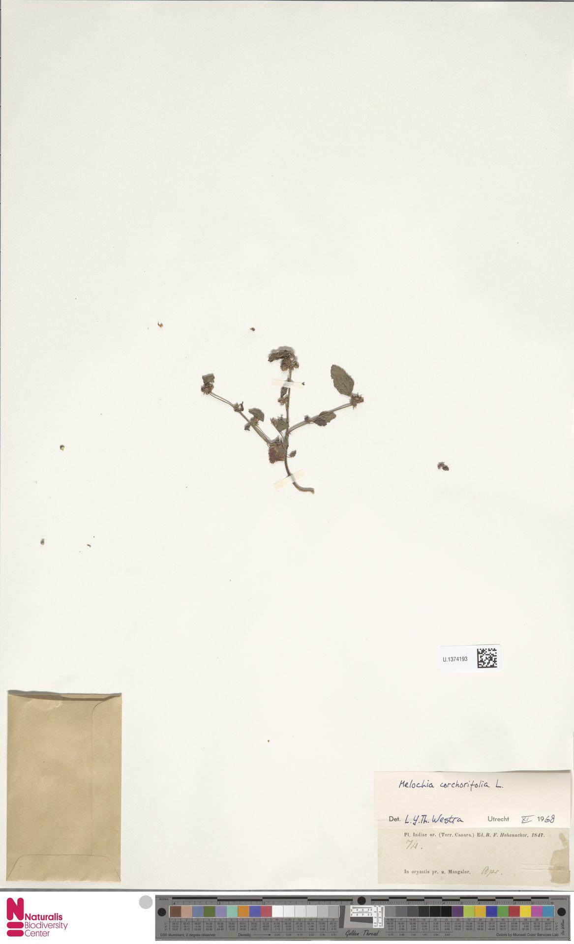 U.1374193 | Melochia corchorifolia L.