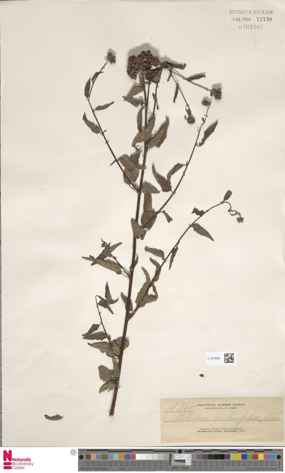 U.1374203 | Melochia corchorifolia L.