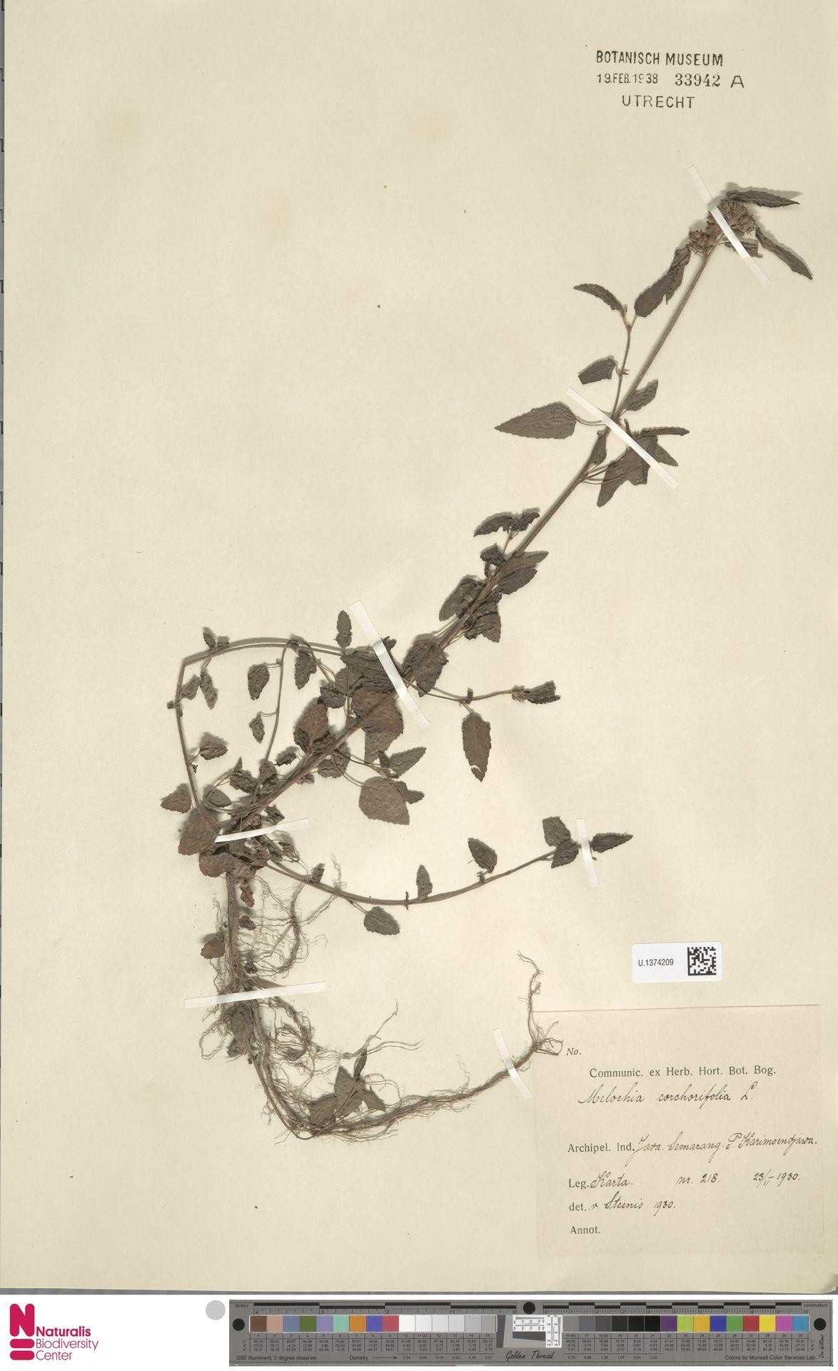 U.1374209 | Melochia corchorifolia L.