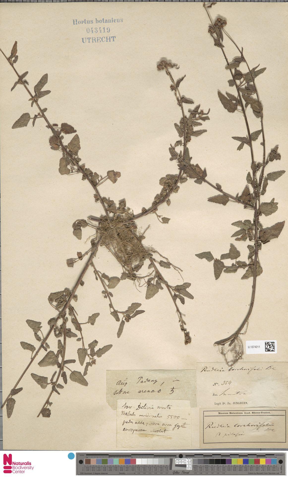 U.1374211   Melochia corchorifolia L.