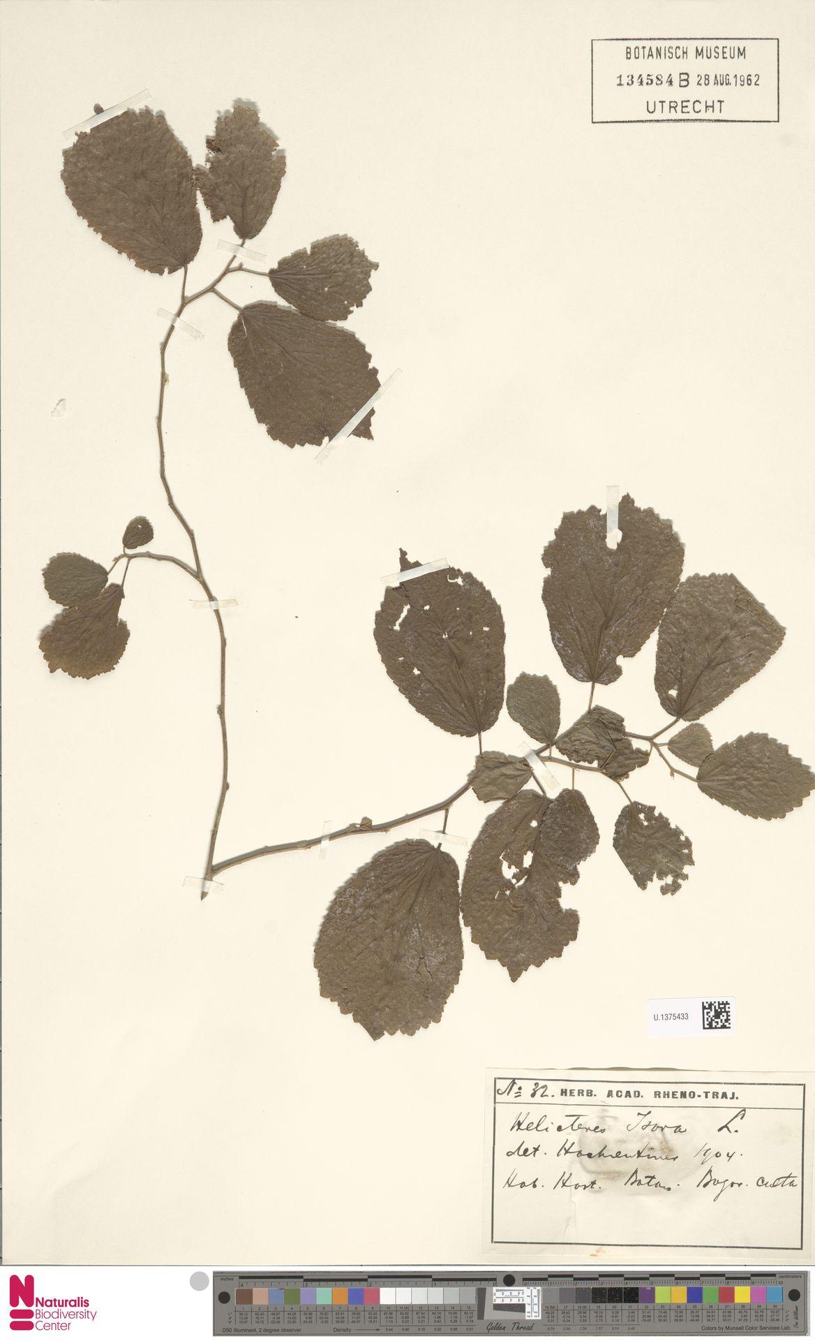 U.1375433 | Helicteres isora L.