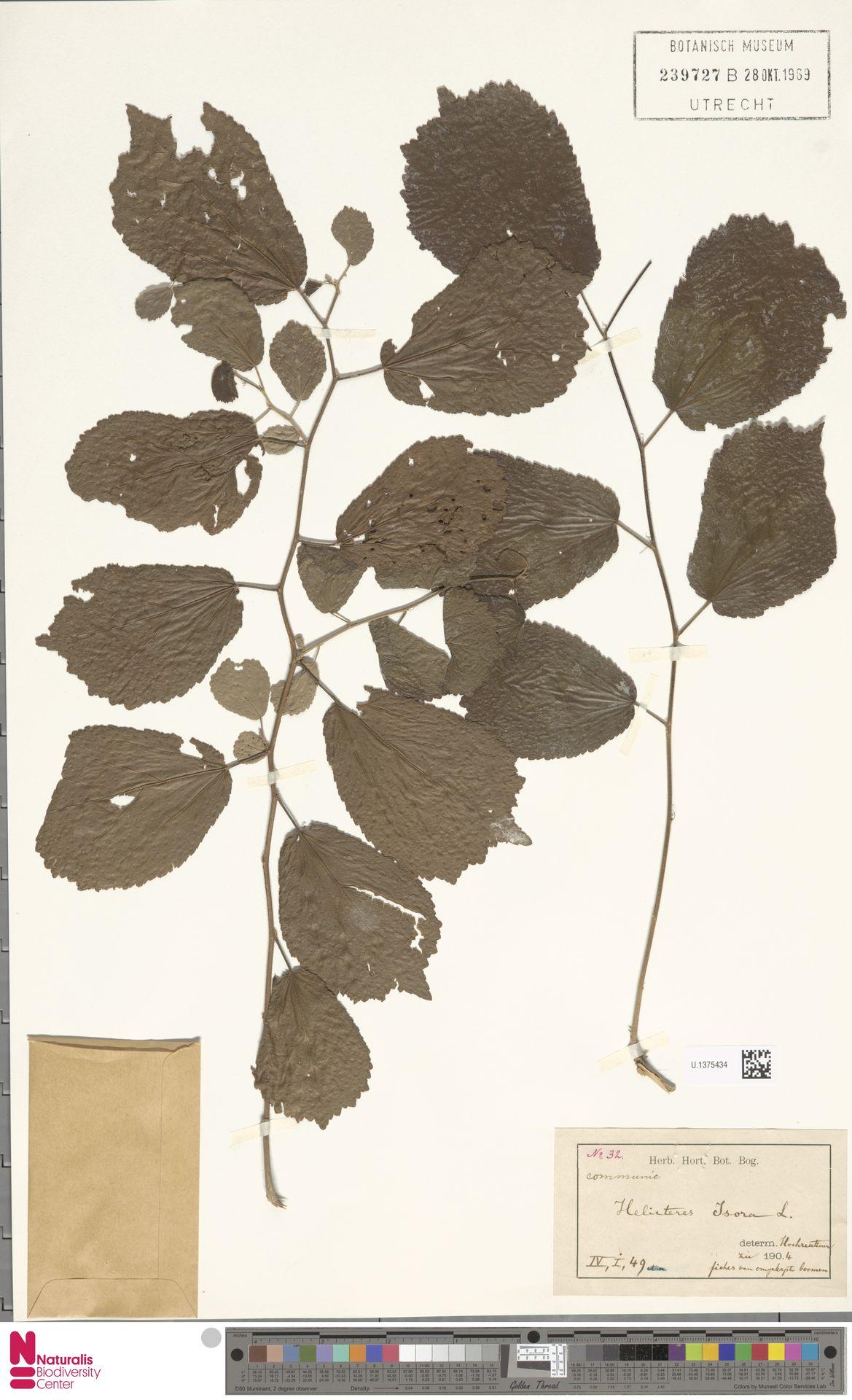 U.1375434 | Helicteres isora L.