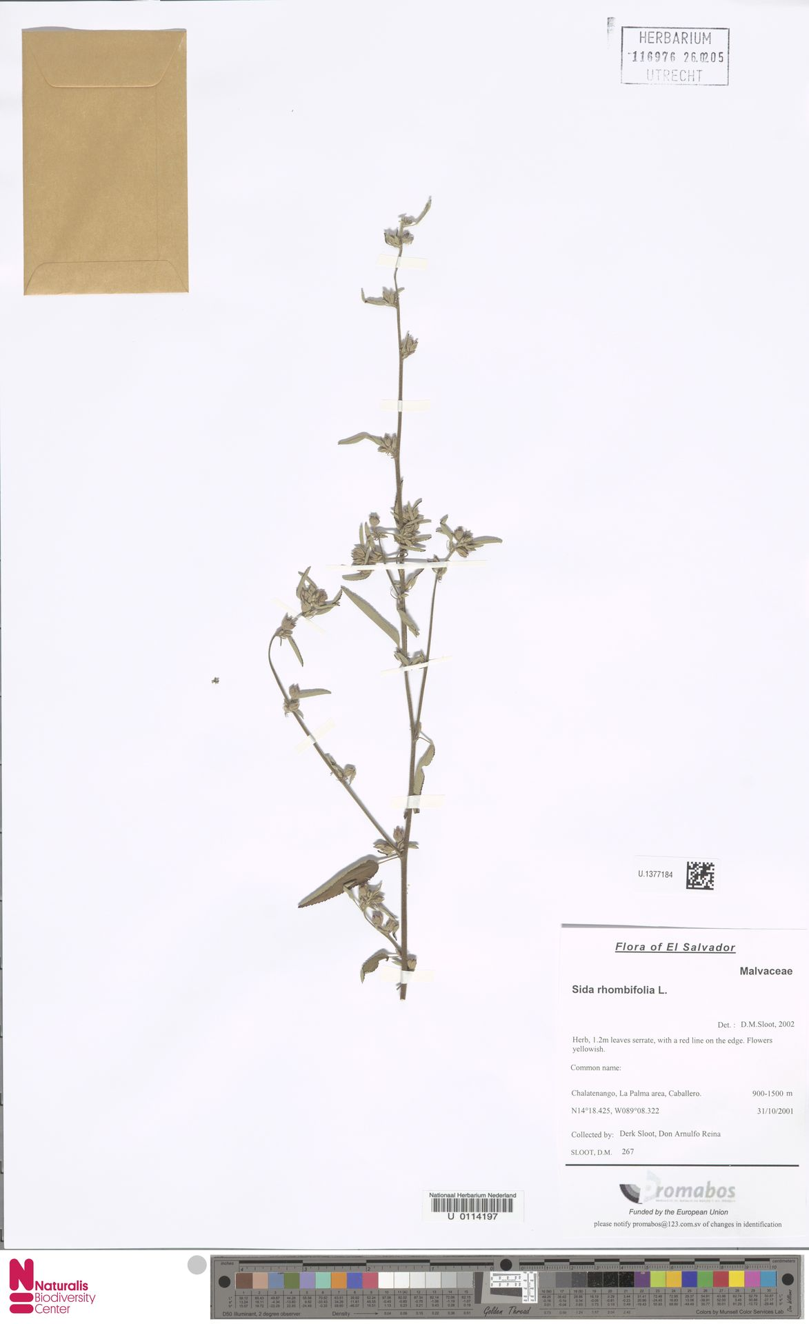 U.1377184 | Sida rhombifolia L.