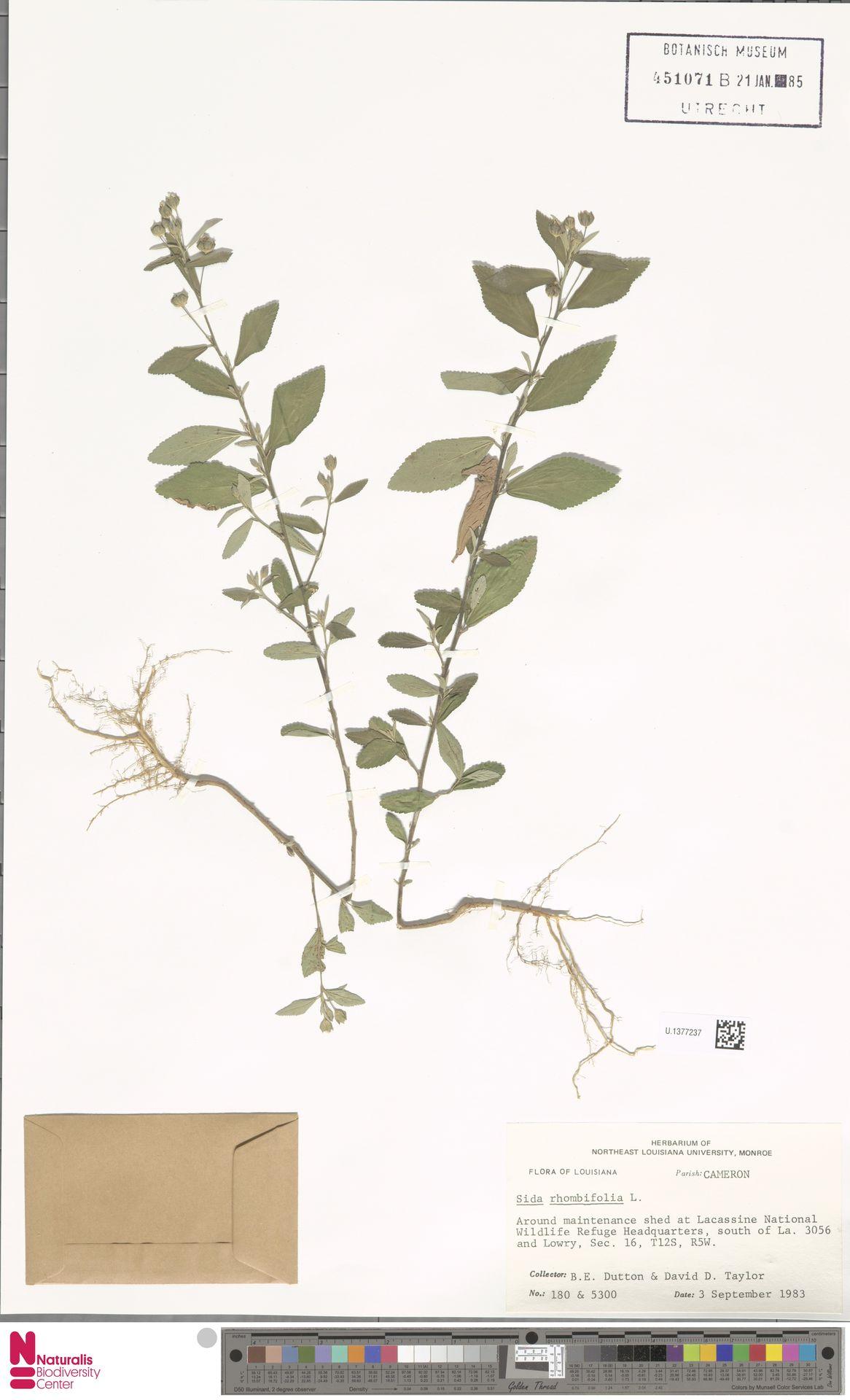 U.1377237 | Sida rhombifolia L.