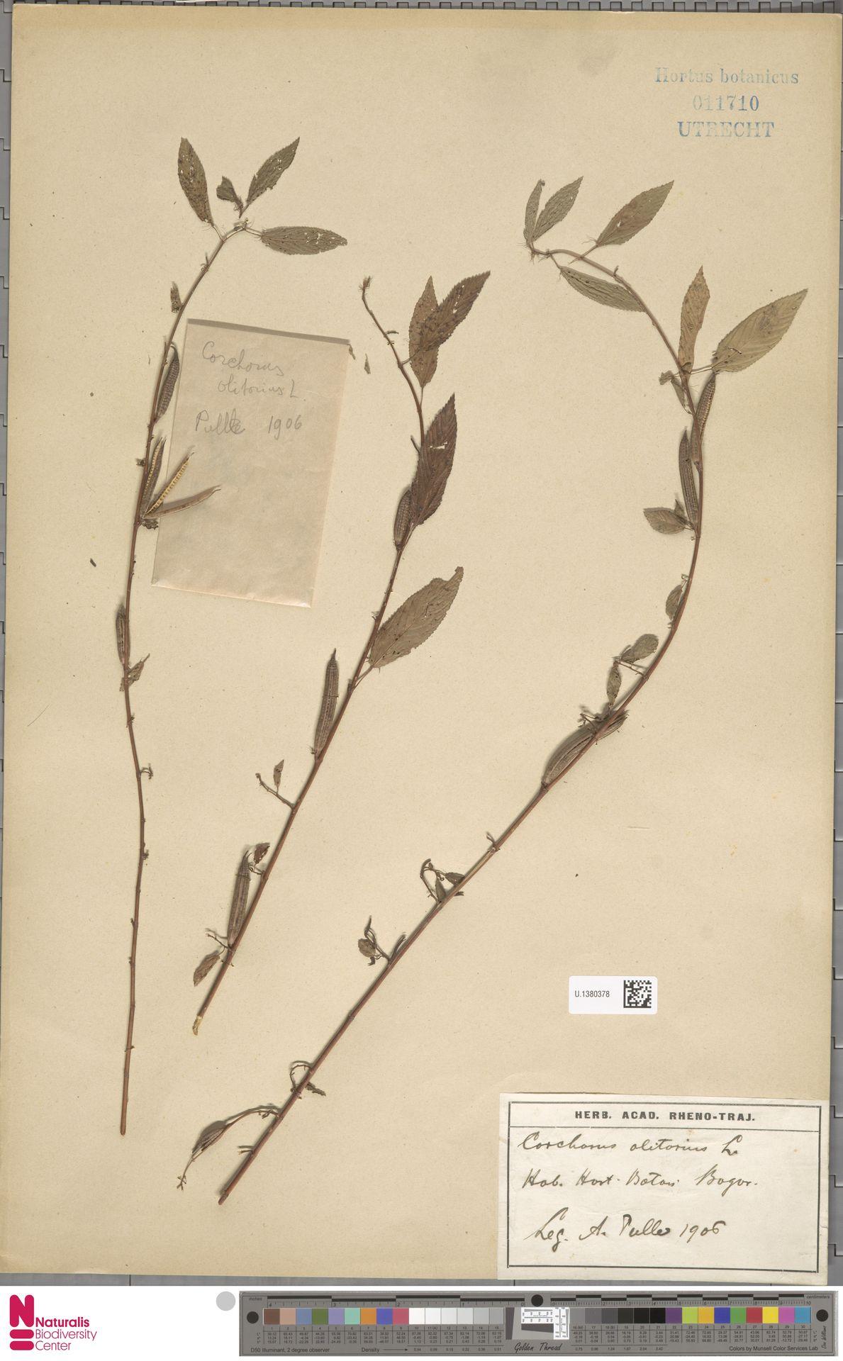 U.1380378 | Corchorus olitorius L.