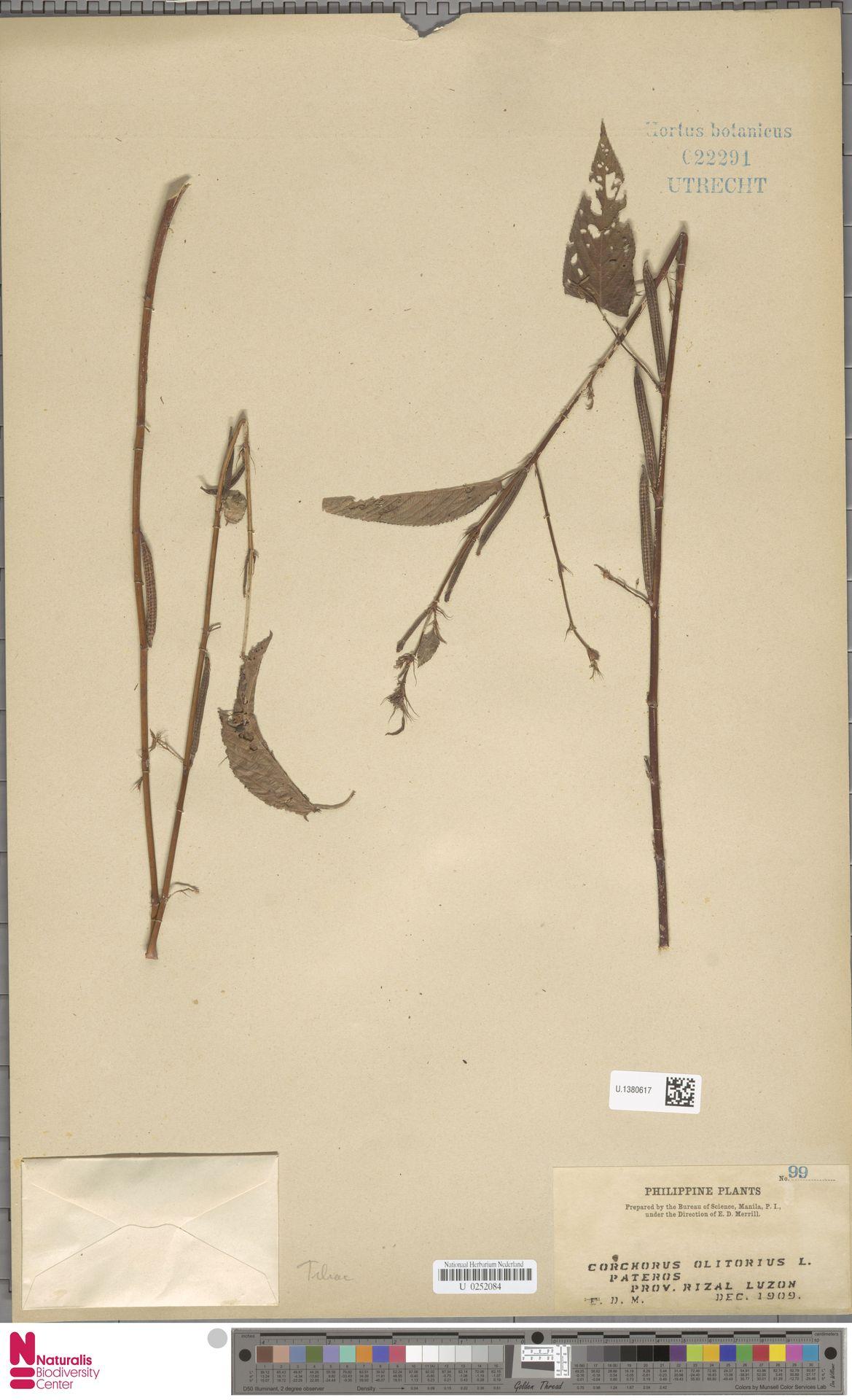 U.1380617 | Corchorus olitorius L.