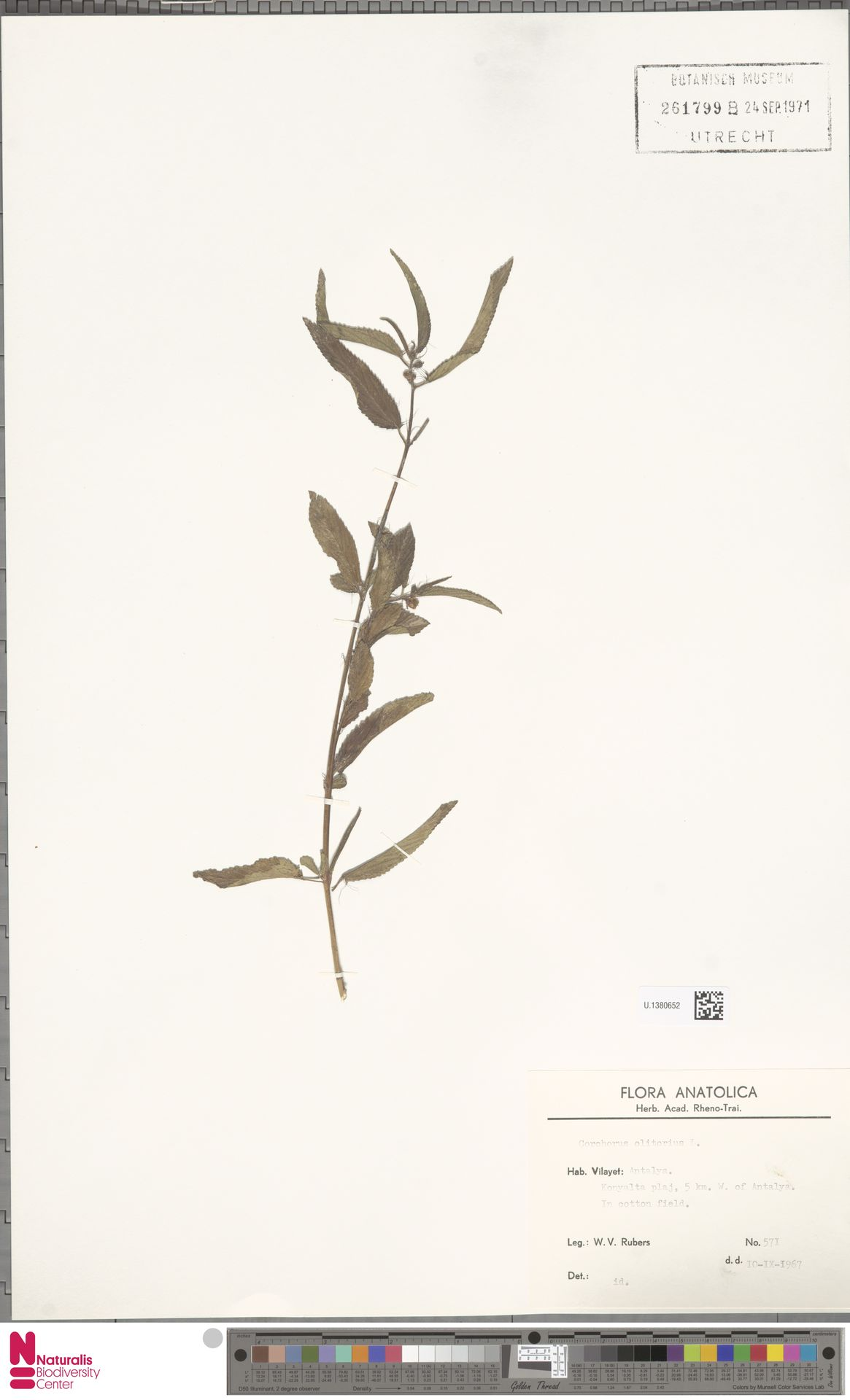 U.1380652 | Corchorus olitorius L.