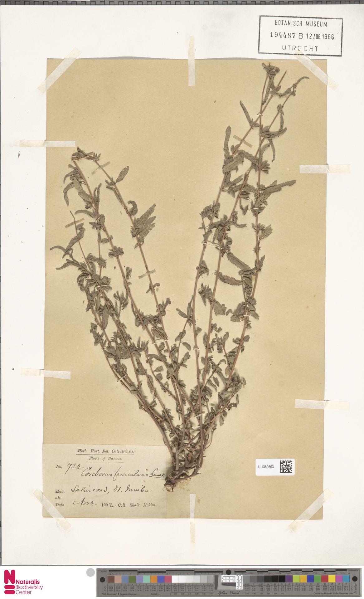 U.1380663 | Corchorus fascicularis Lam.