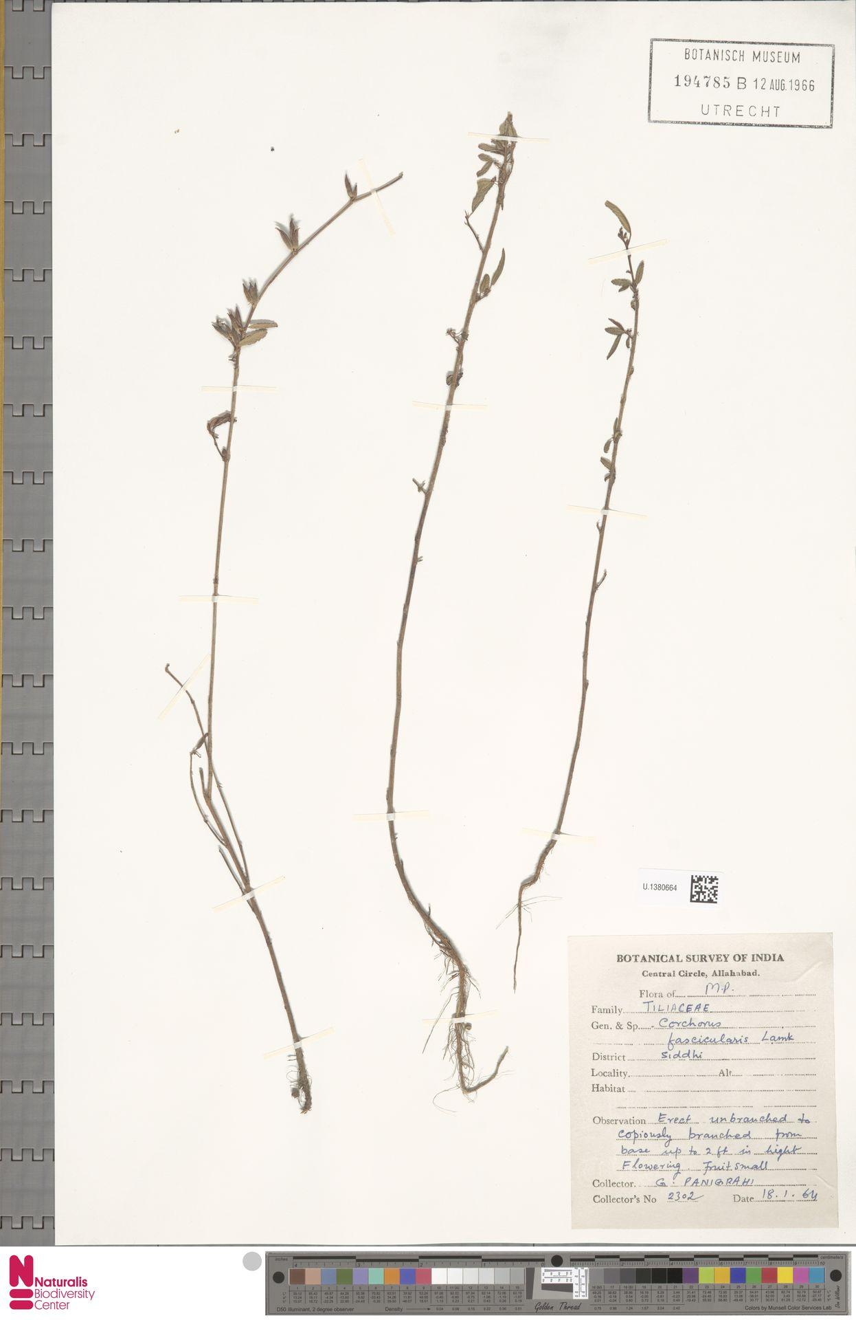 U.1380664 | Corchorus fascicularis Lam.