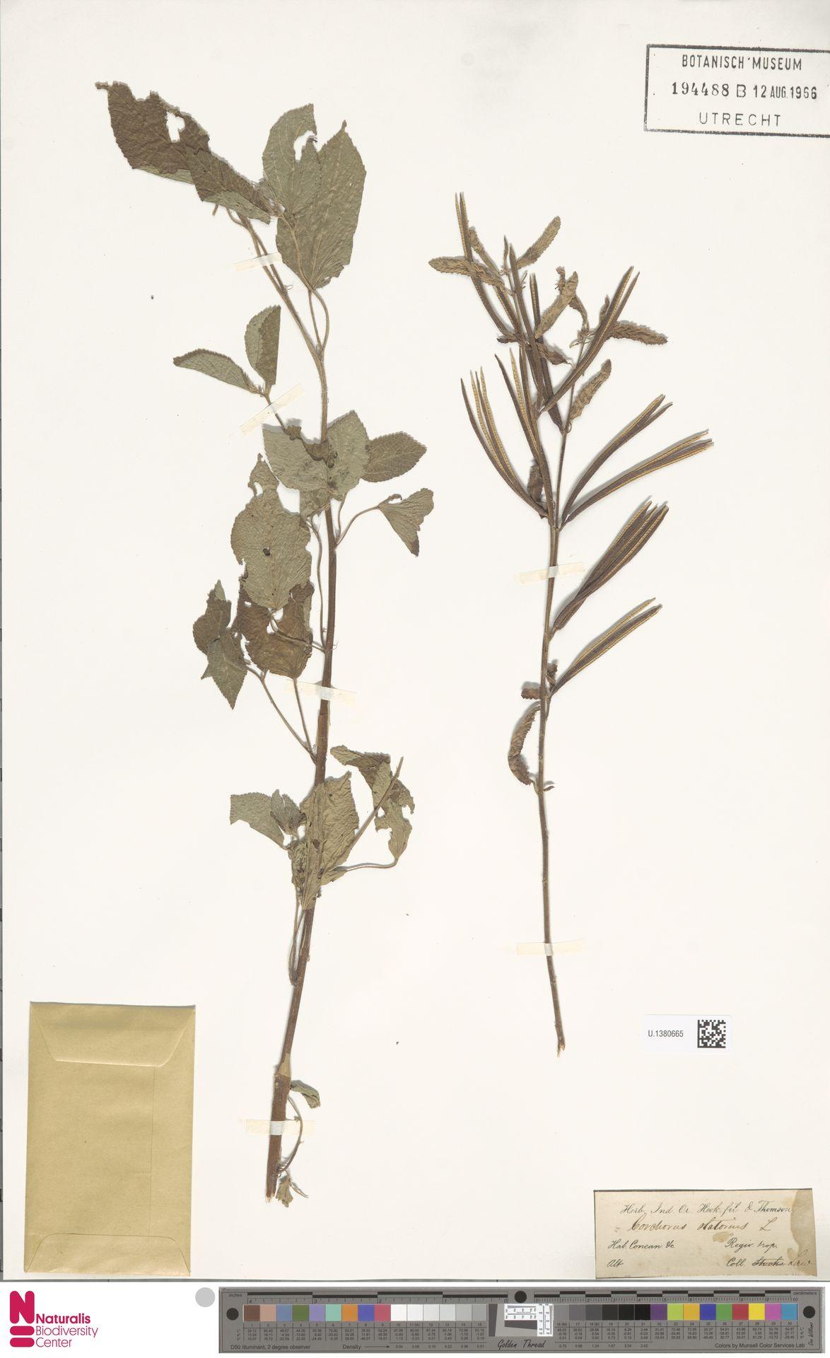 U.1380665 | Corchorus olitorius L.