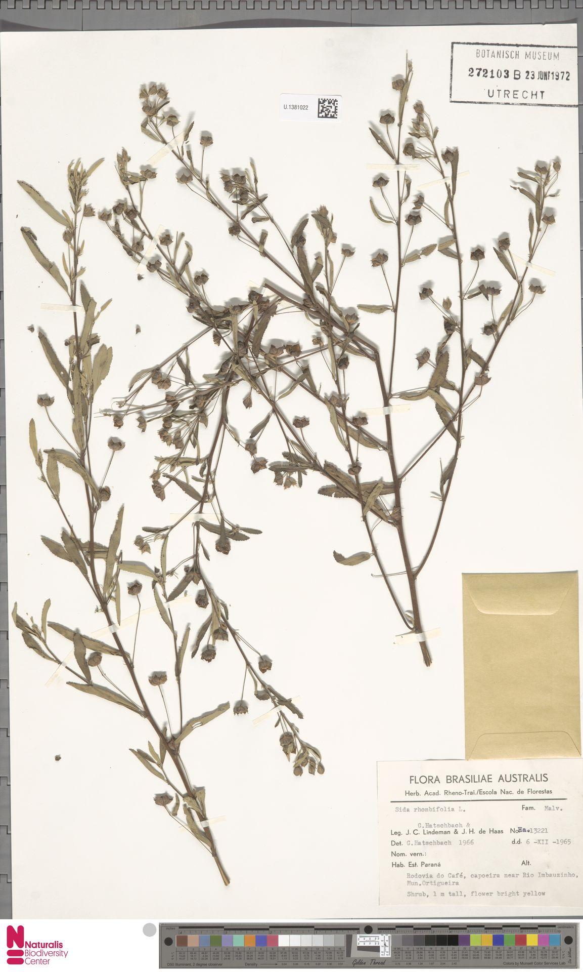 U.1381022 | Sida rhombifolia L.