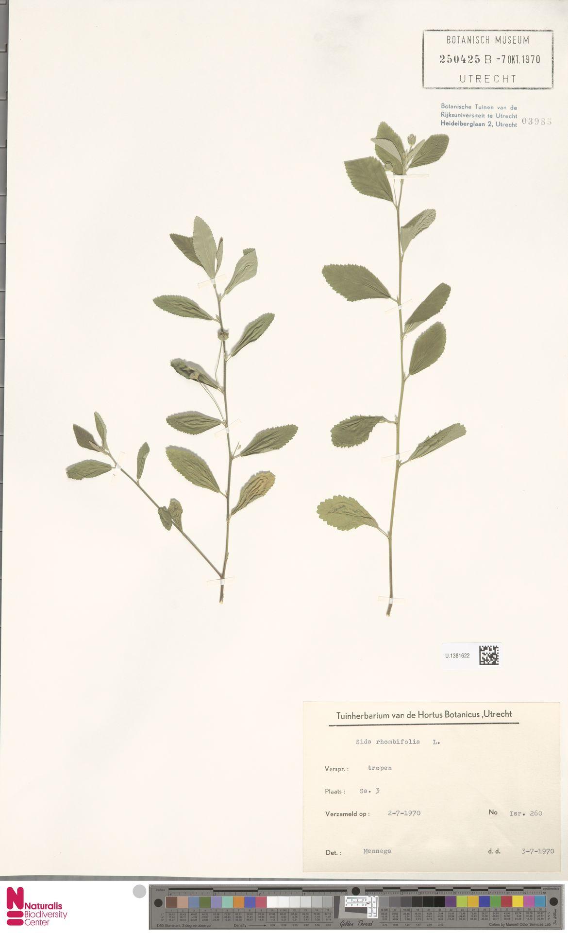 U.1381622 | Sida rhombifolia L.