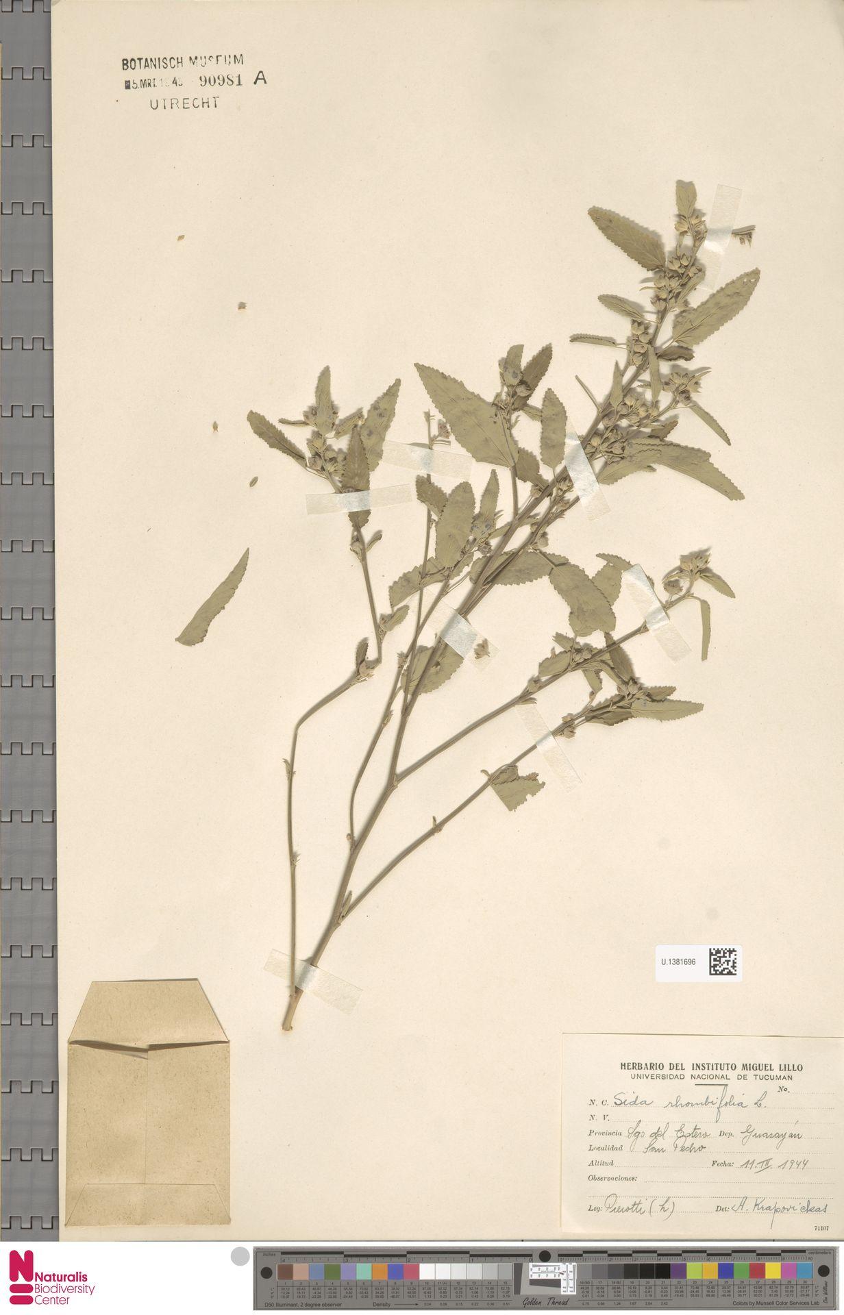 U.1381696 | Sida rhombifolia L.