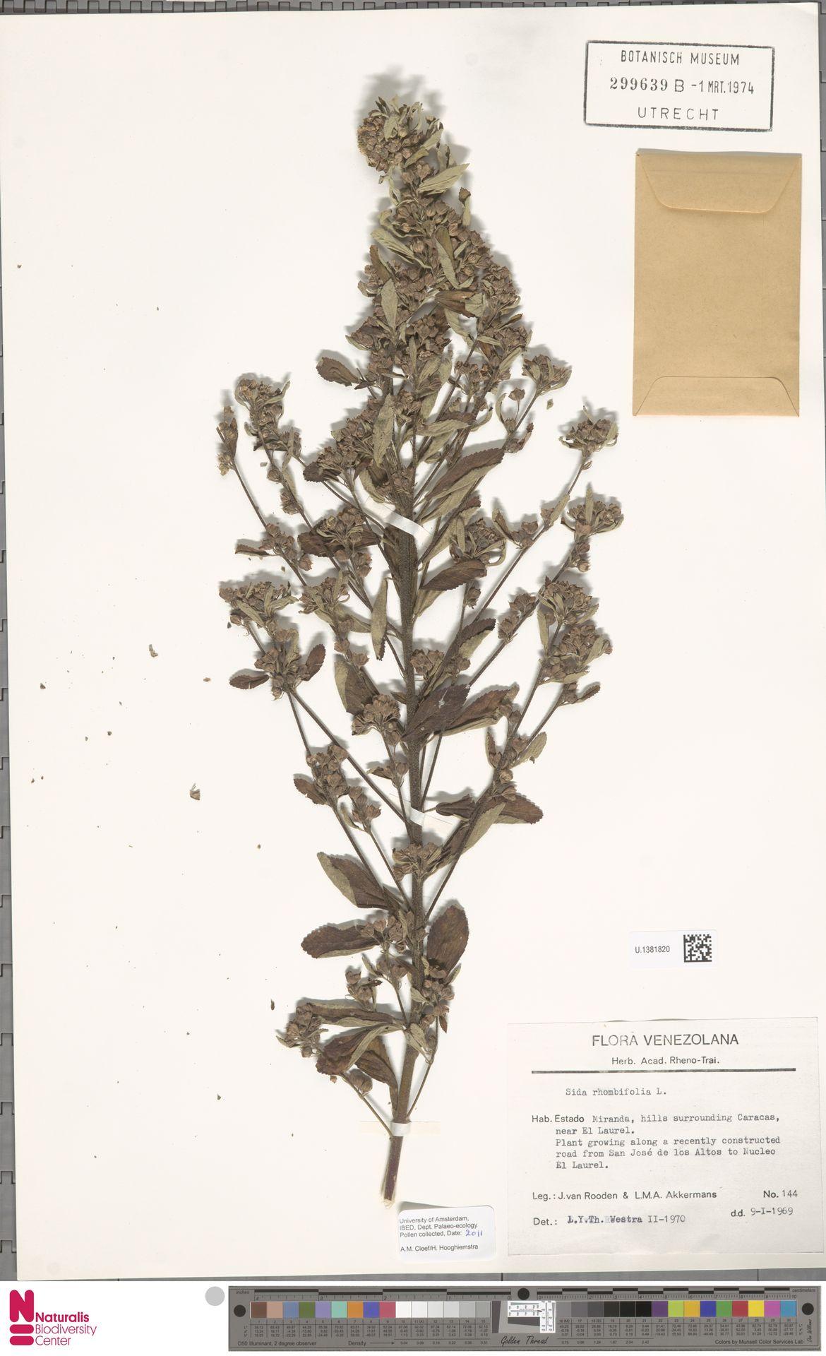 U.1381820 | Sida rhombifolia L.