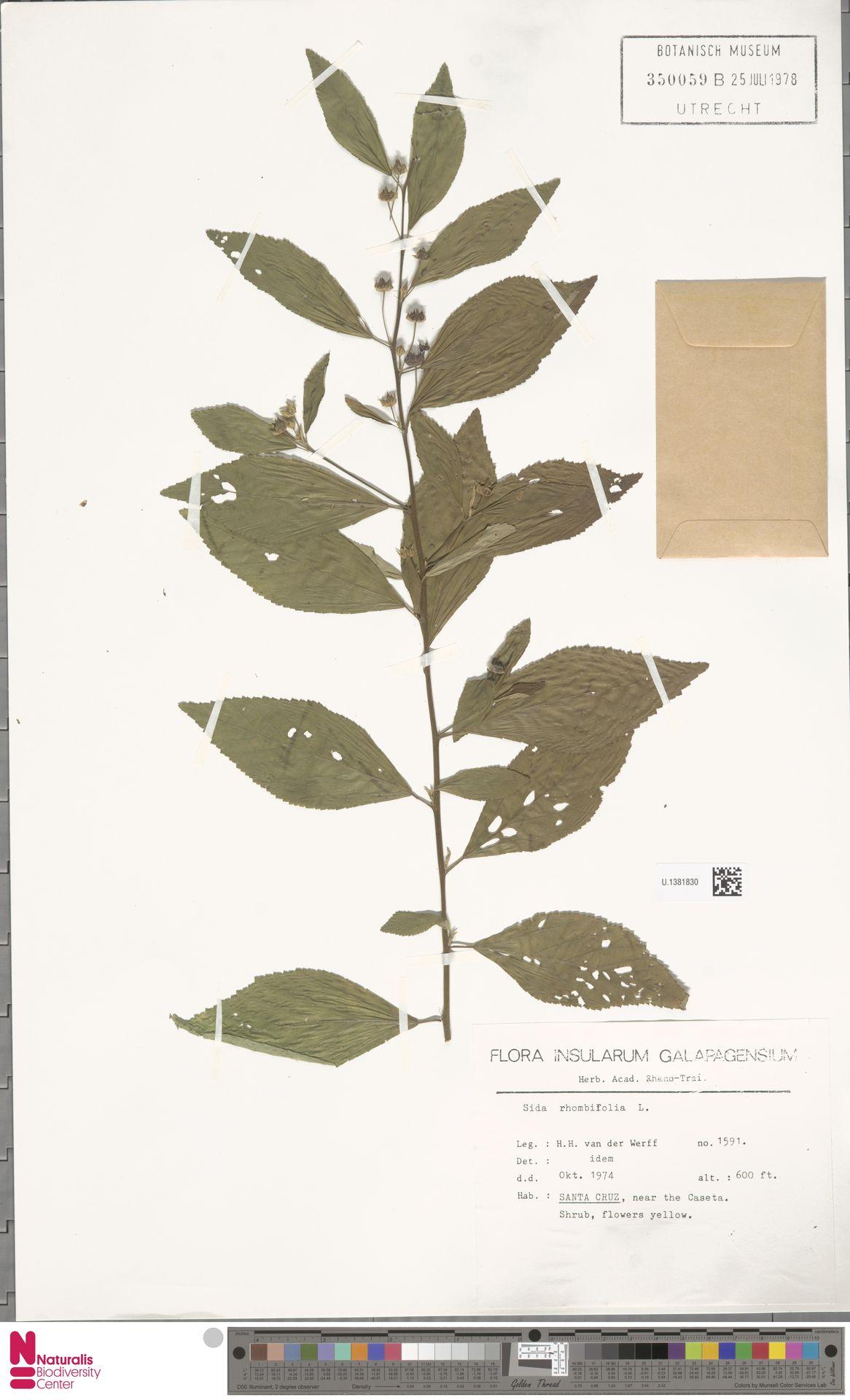 U.1381830 | Sida rhombifolia L.