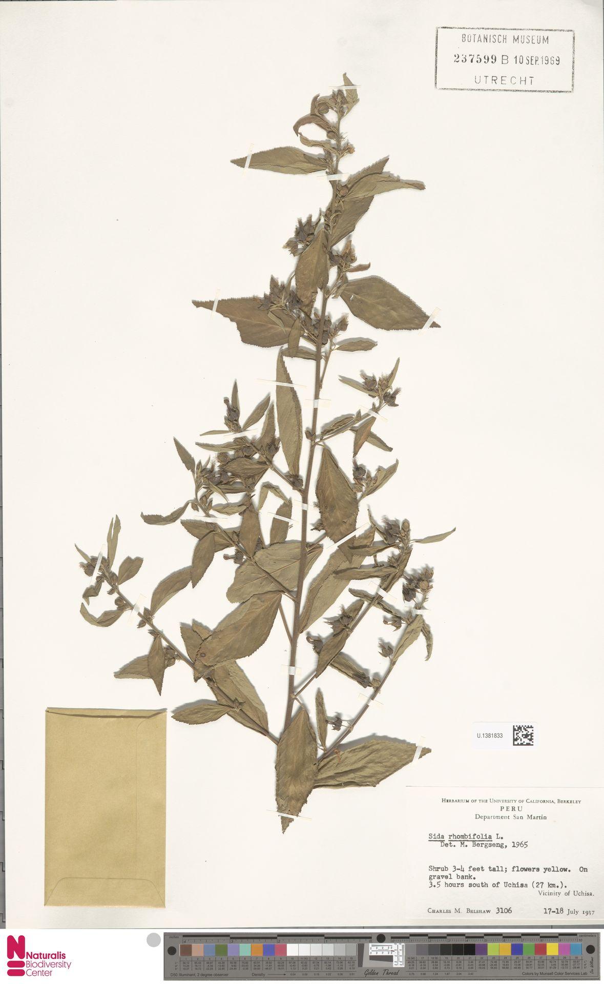 U.1381833 | Sida rhombifolia L.