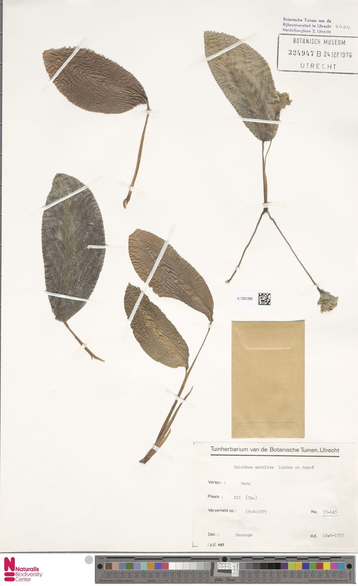 U.1391266 | Calathea undulata (Linden & André) Linden & André
