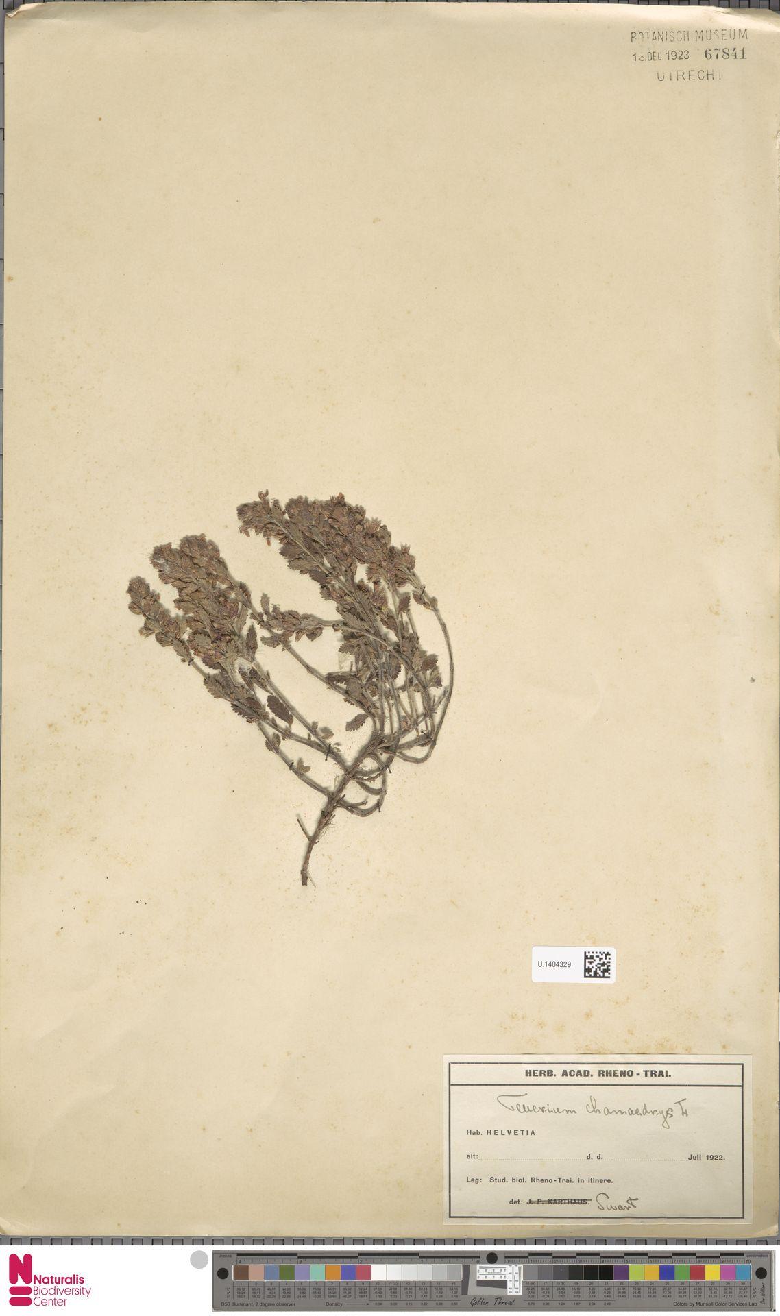 U.1404329 | Teucrium chamaedrys L.
