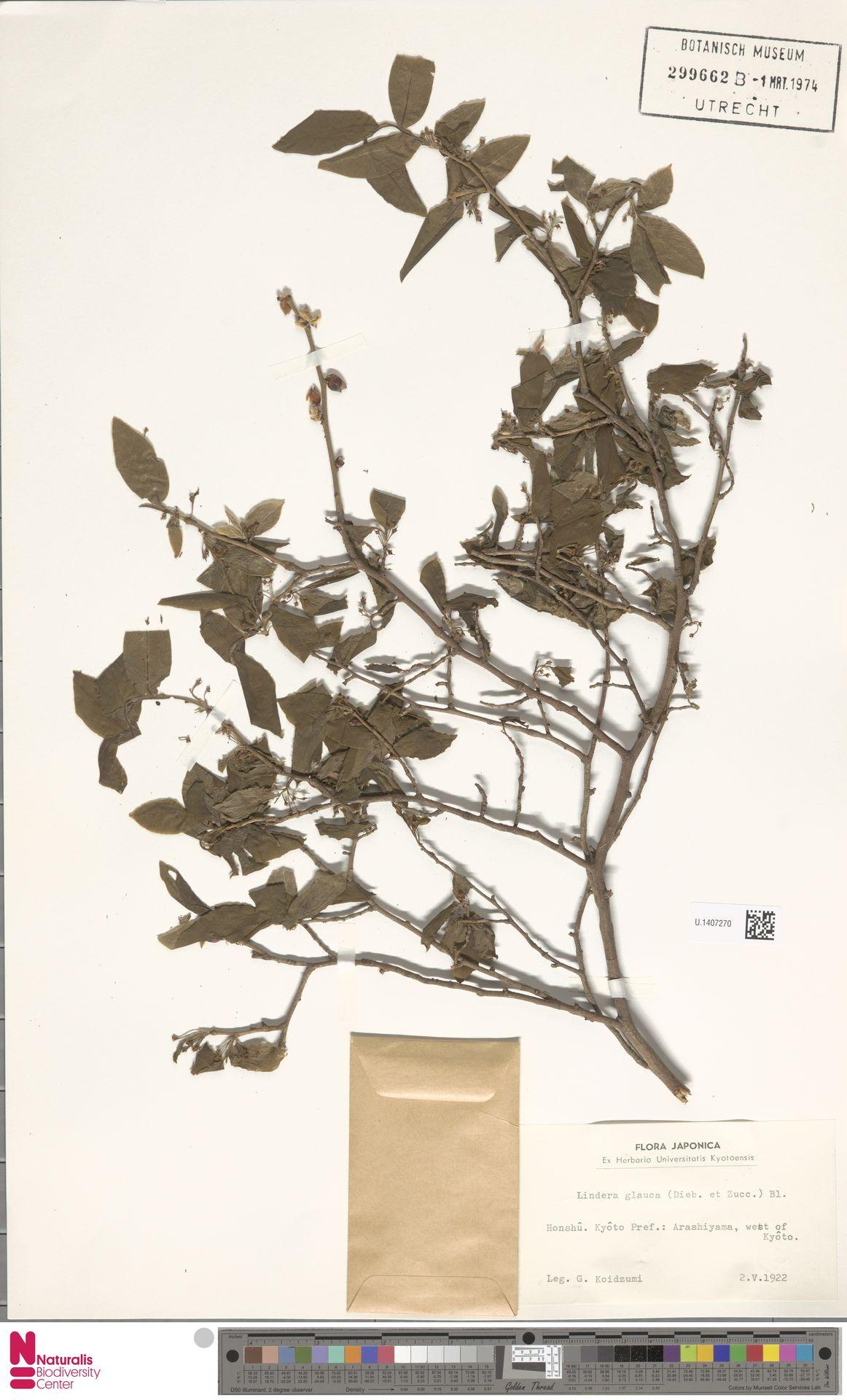 U.1407270 | Lindera glauca Blume