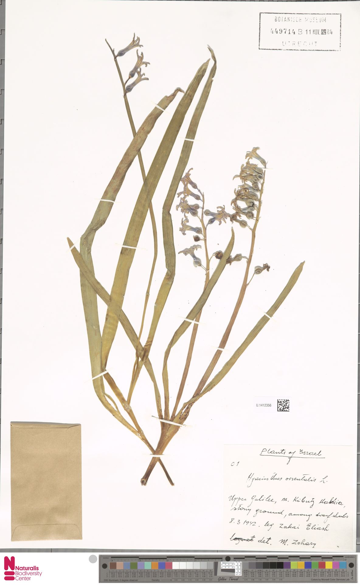 U.1412356 | Hyacinthus orientalis L.