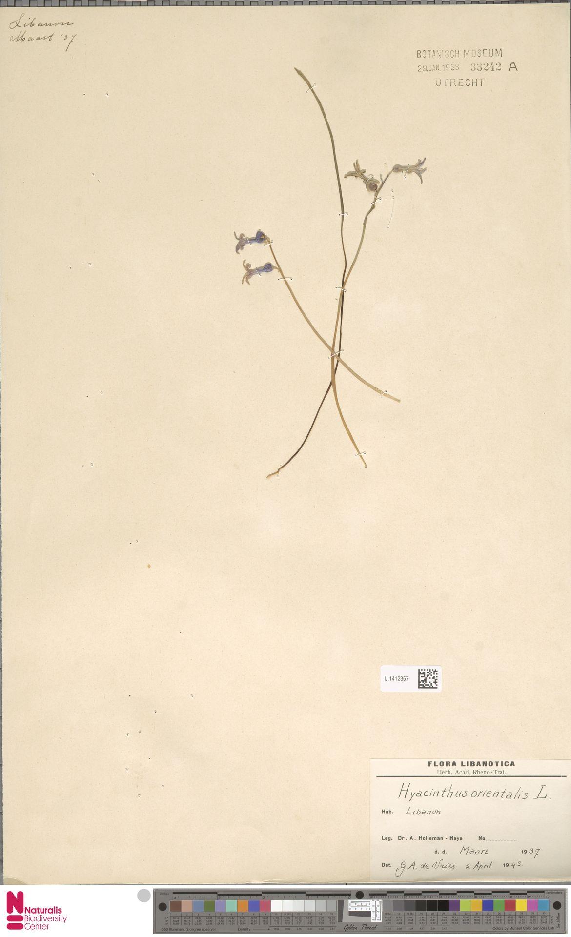 U.1412357 | Hyacinthus orientalis L.