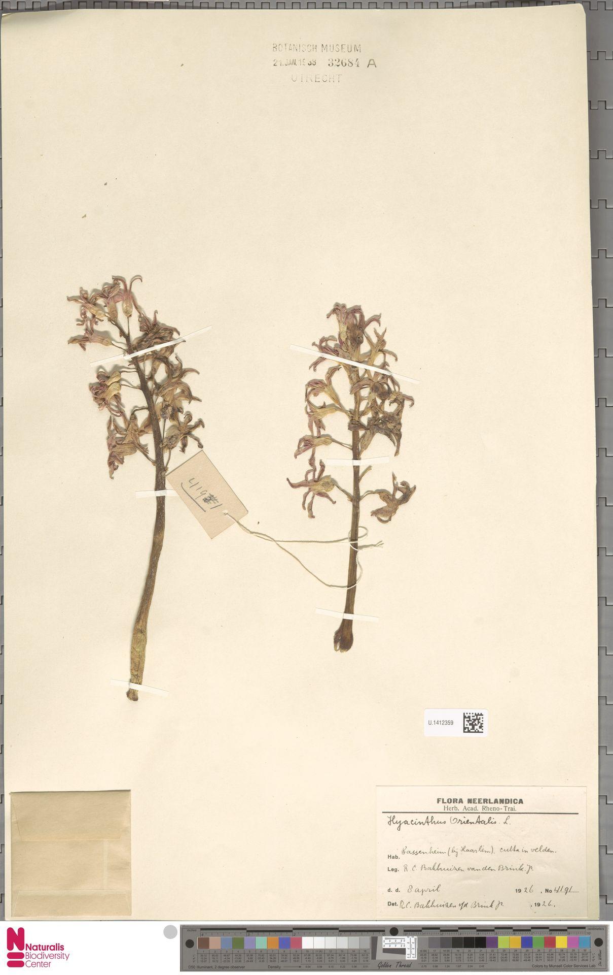 U.1412359 | Hyacinthus orientalis L.