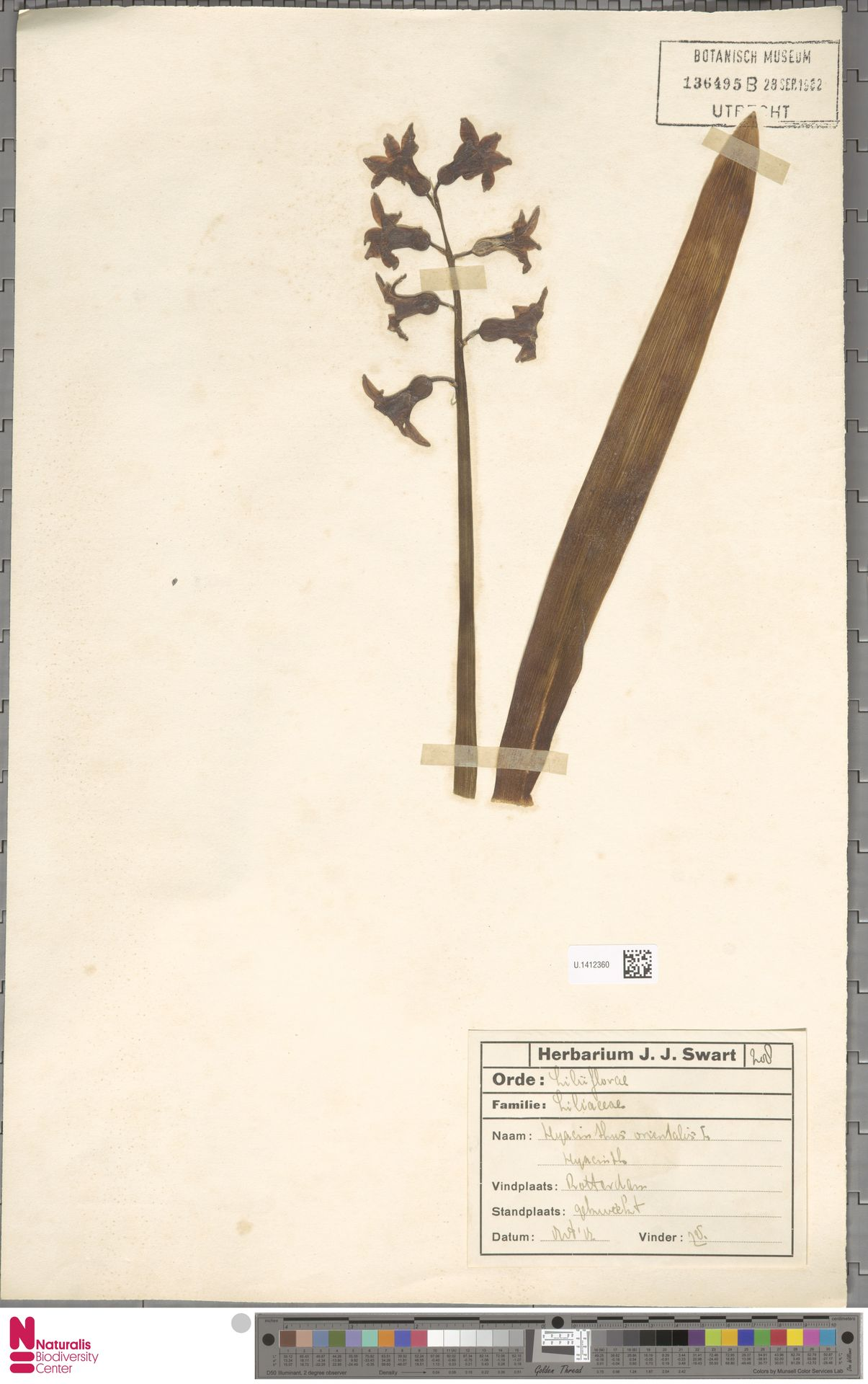 U.1412360 | Hyacinthus orientalis L.