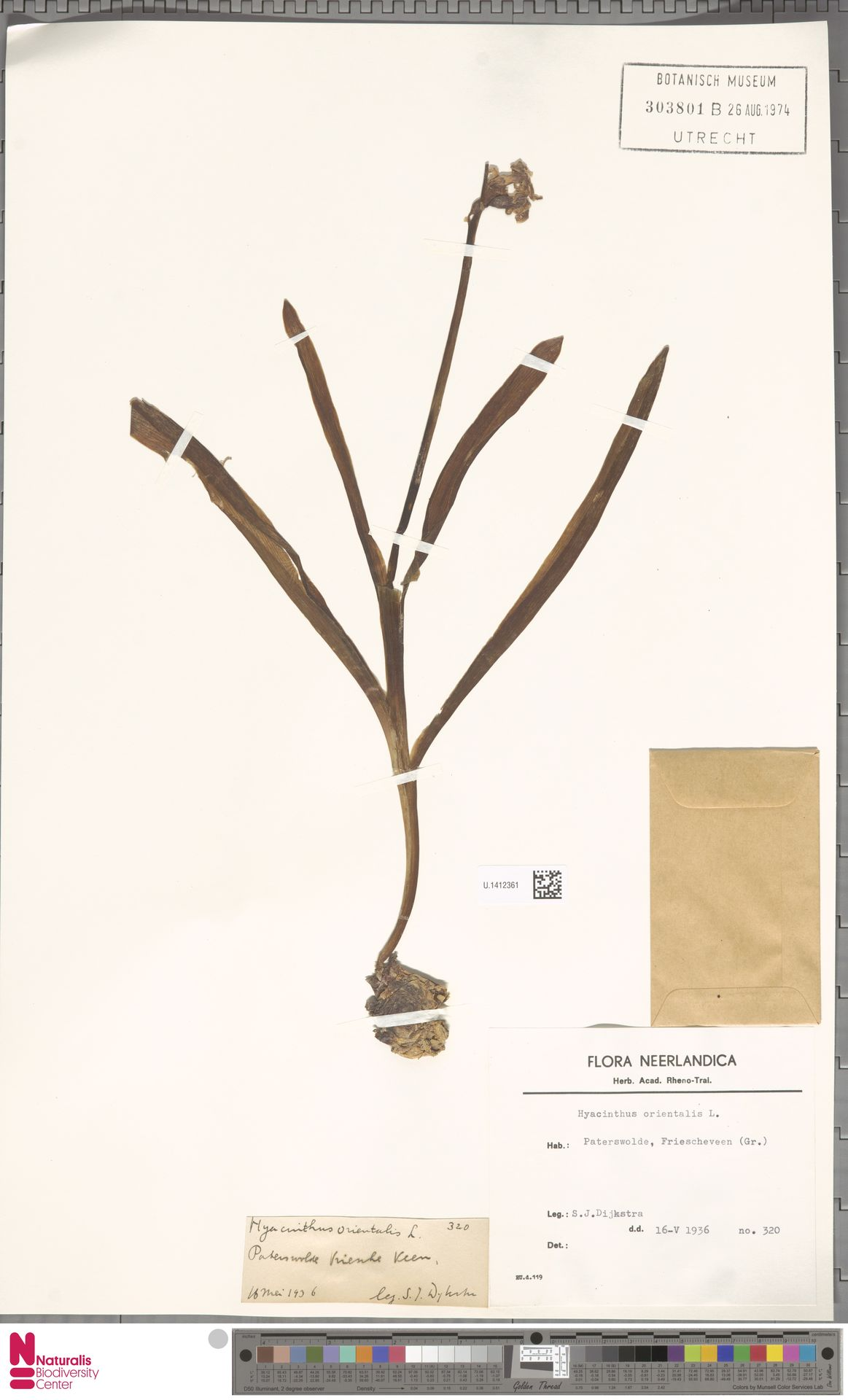 U.1412361 | Hyacinthus orientalis L.